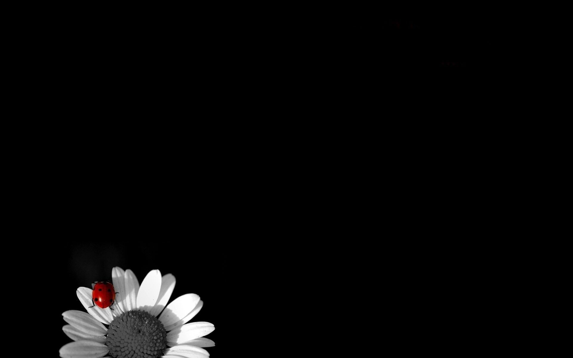 Black And White Daisy Wallpapers Top Free Black And White Daisy