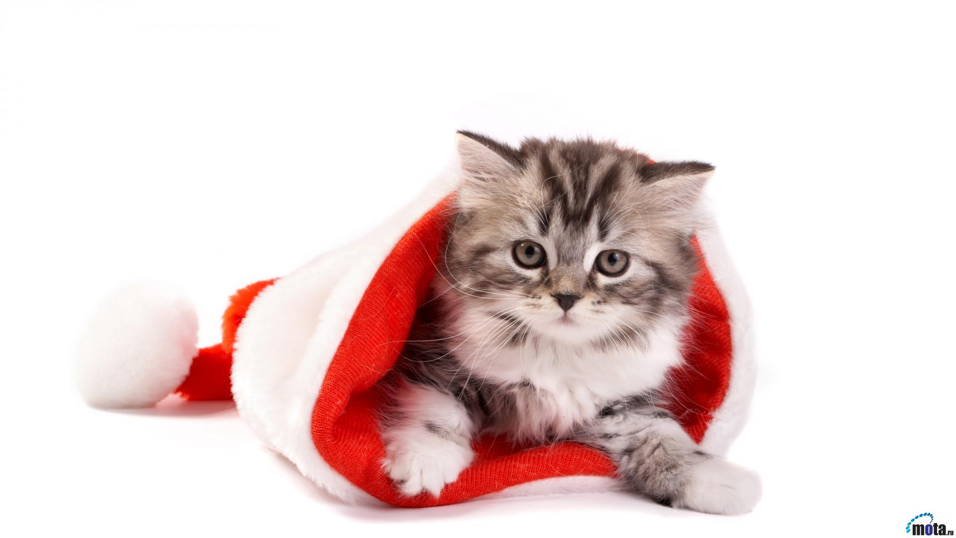 Christmas Cat Wallpapers Top Free Christmas Cat