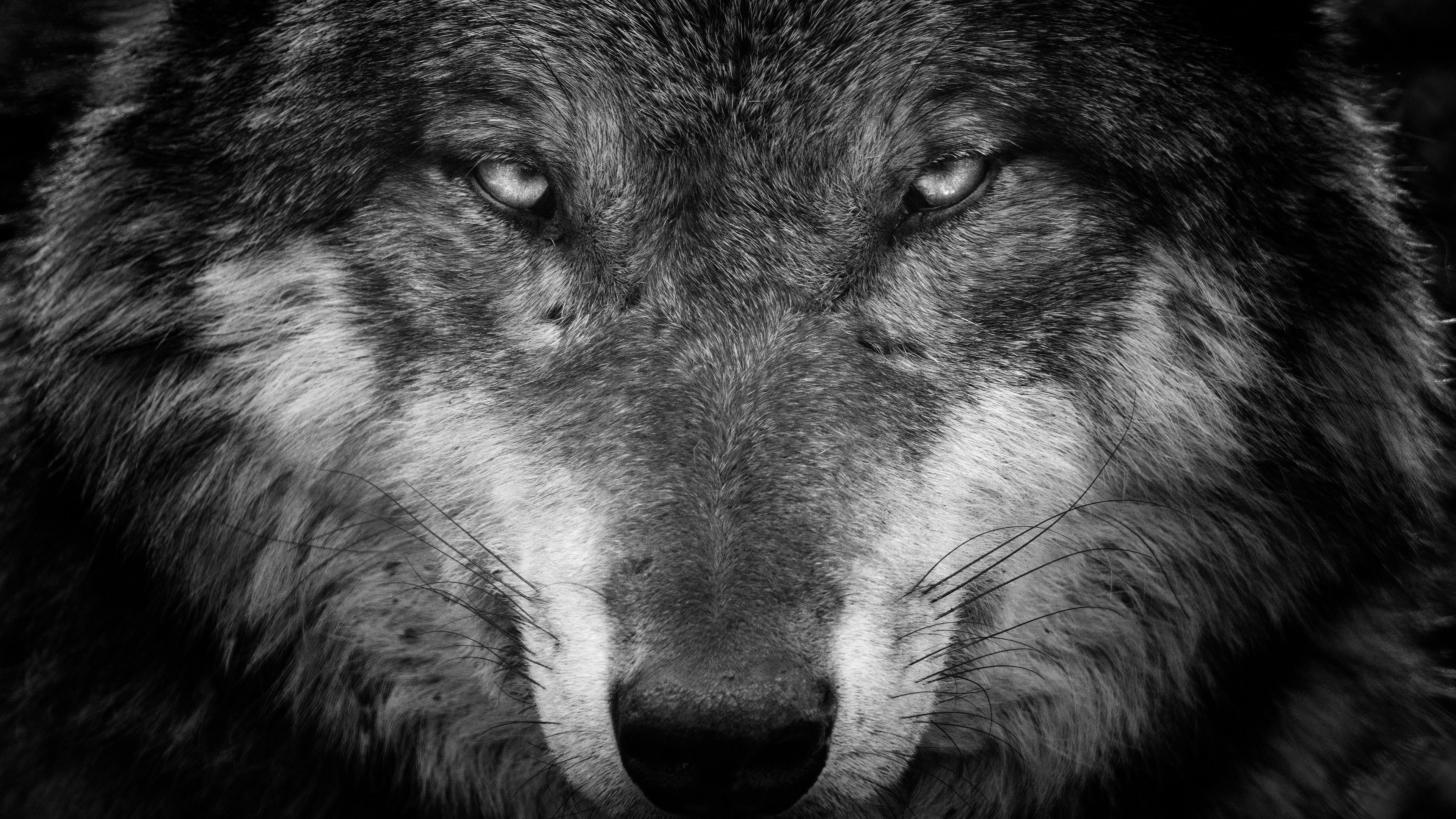 Wolf Face Wallpapers Top Free Wolf Face Backgrounds Wallpaperaccess