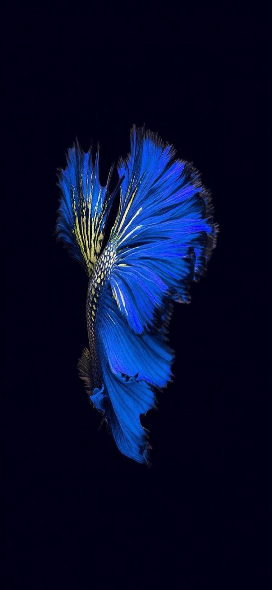 amoled iphone crowntail fish wallpapers beta wallpaperaccess