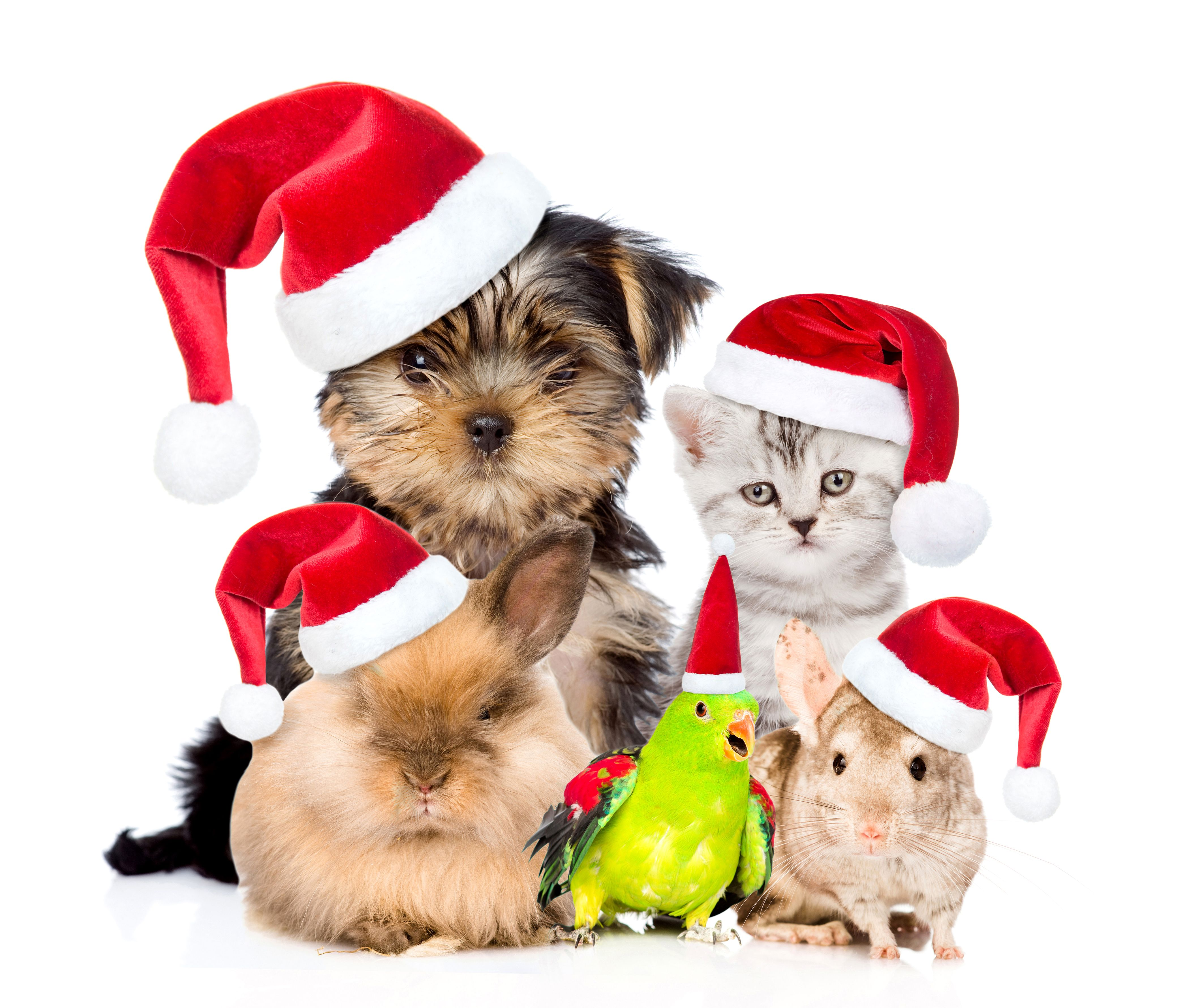 Christmas Pets Wallpapers Top Free Christmas Pets Backgrounds Wallpaperaccess