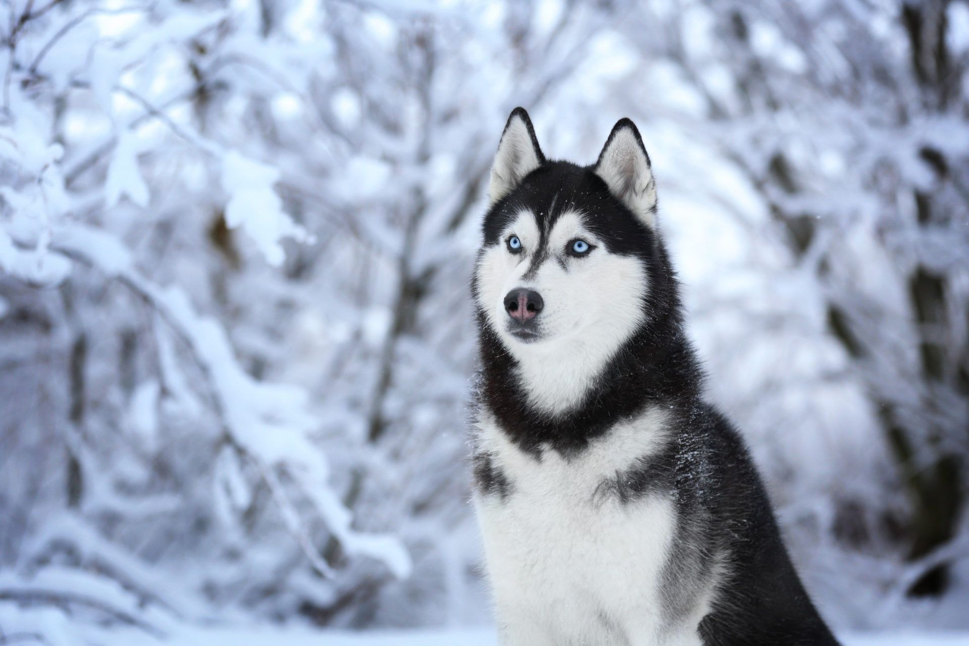 Husky Dog Wallpapers Top Free Husky Dog Backgrounds Wallpaperaccess