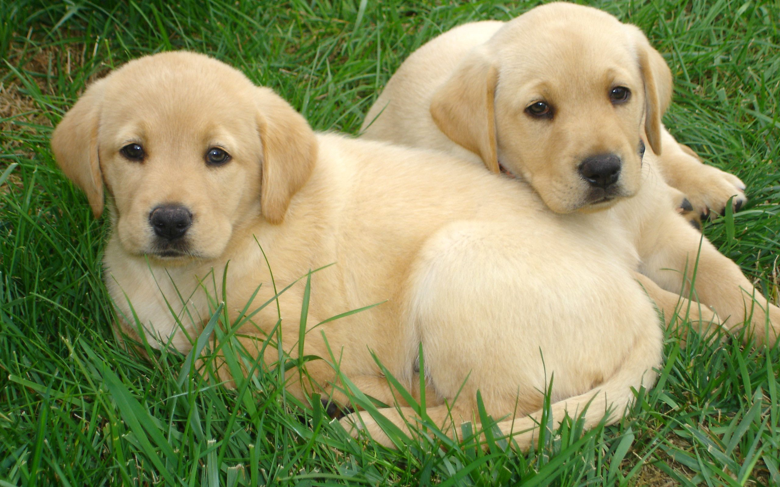 Baby Labrador Wallpapers Top Free Baby Labrador Backgrounds Wallpaperaccess