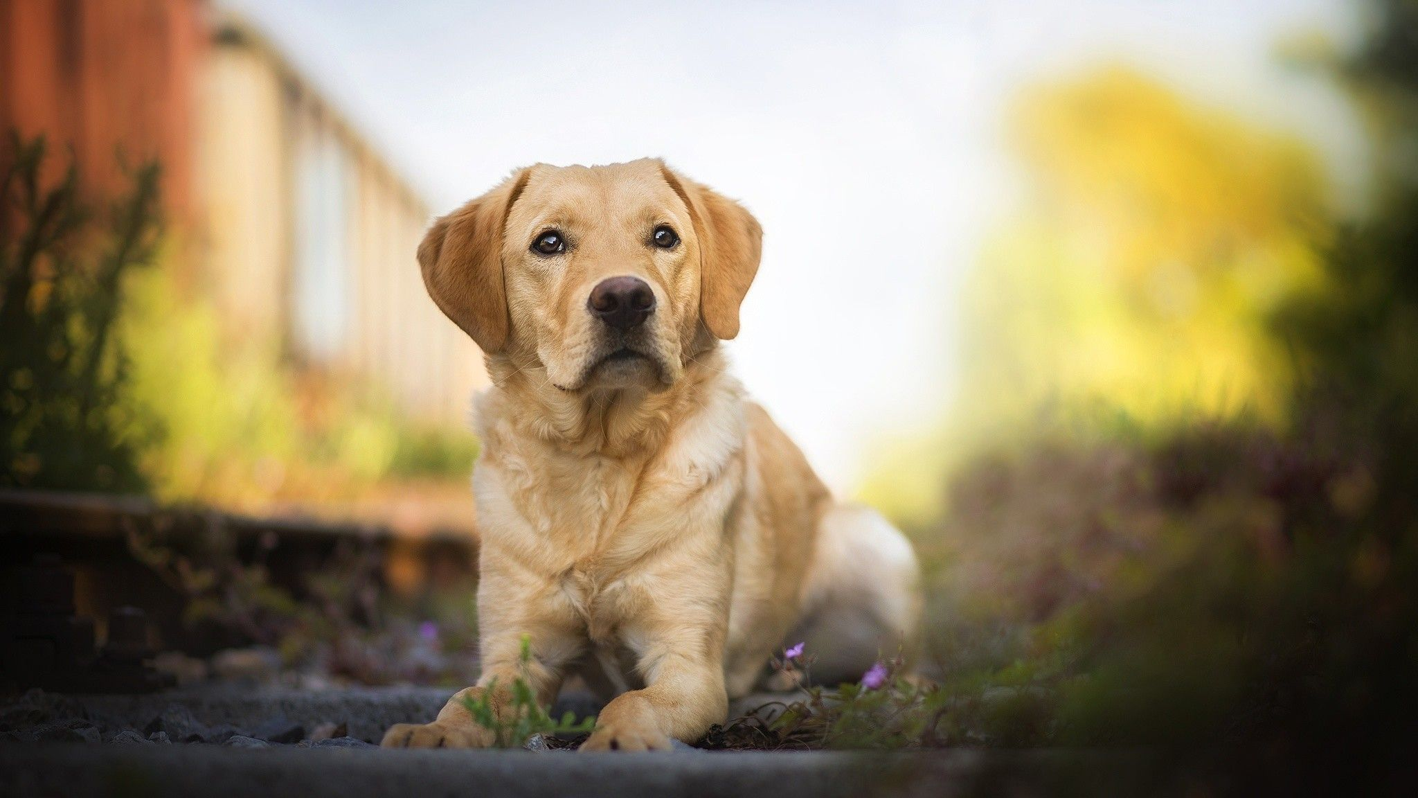 Labrador Retriever Wallpapers Top Free Labrador Retriever Backgrounds Wallpaperaccess