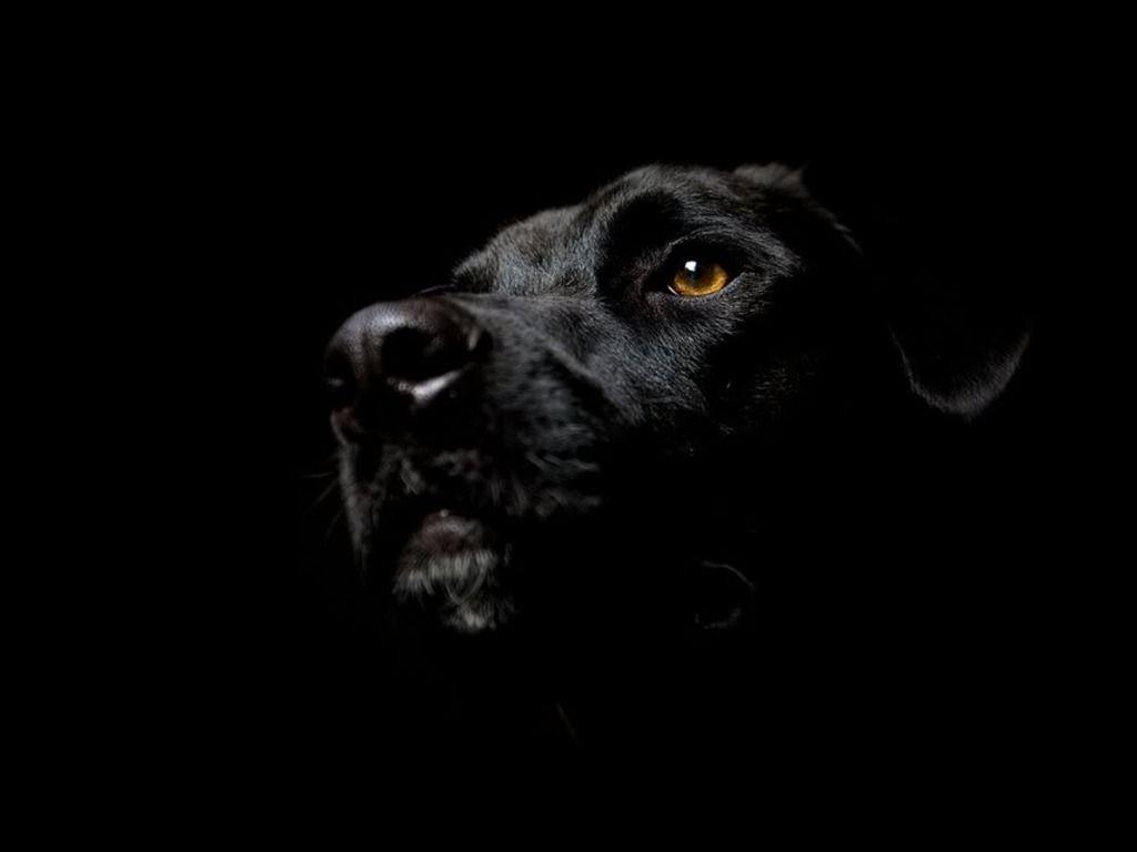 Black Labrador Wallpapers Top Free Black Labrador Backgrounds Wallpaperaccess