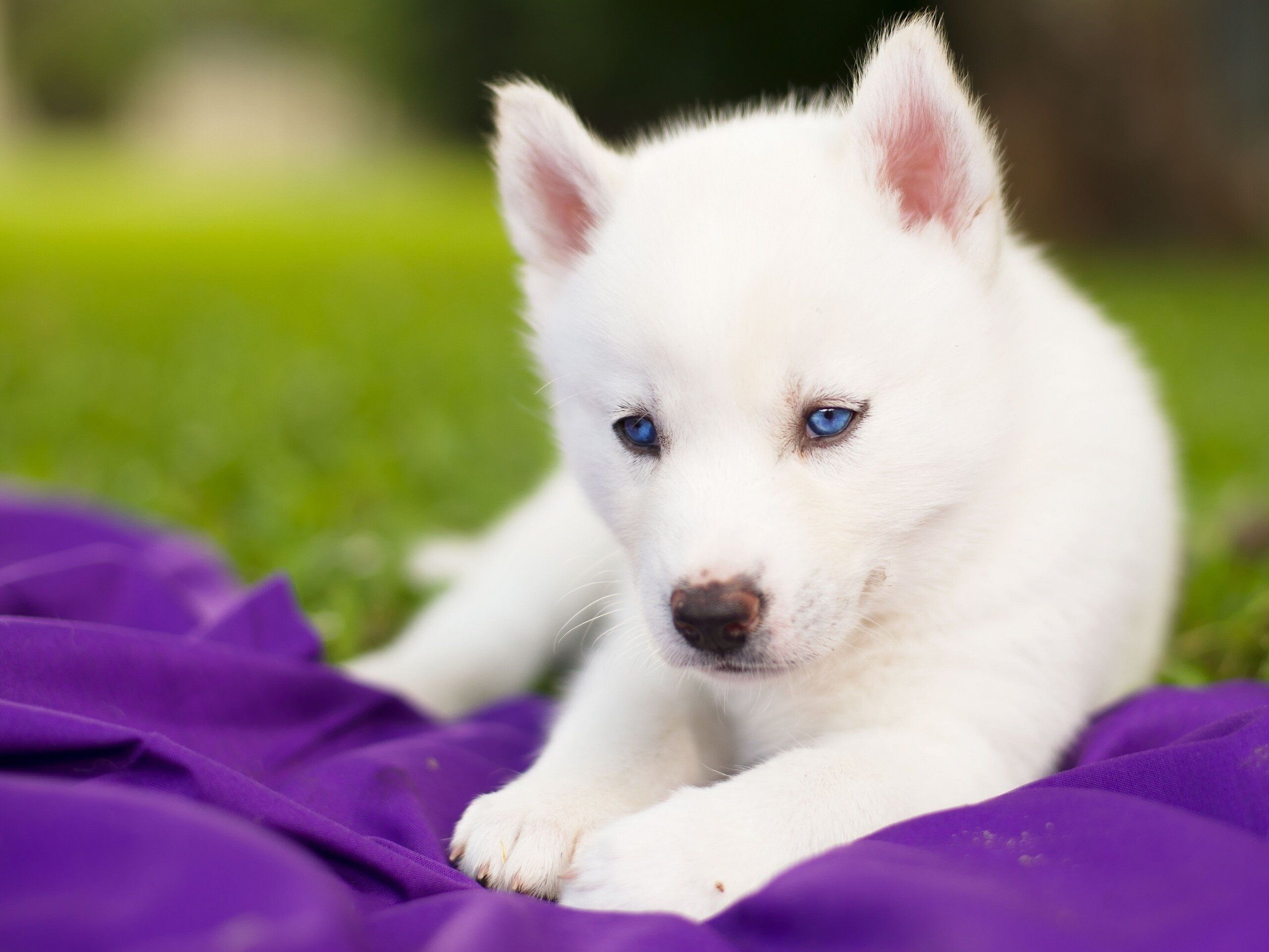 Baby Husky Wallpapers Top Free Baby Husky Backgrounds Wallpaperaccess
