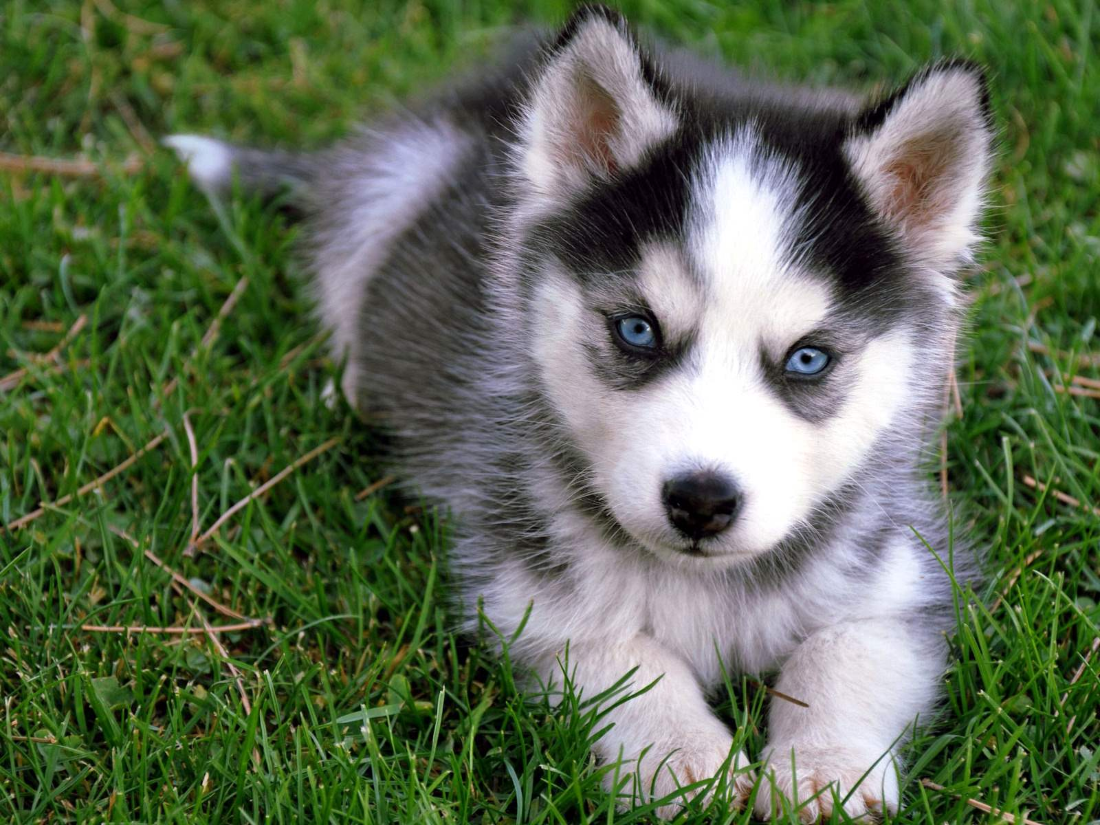 Husky Puppies Wallpapers Top Free Husky Puppies Backgrounds Wallpaperaccess