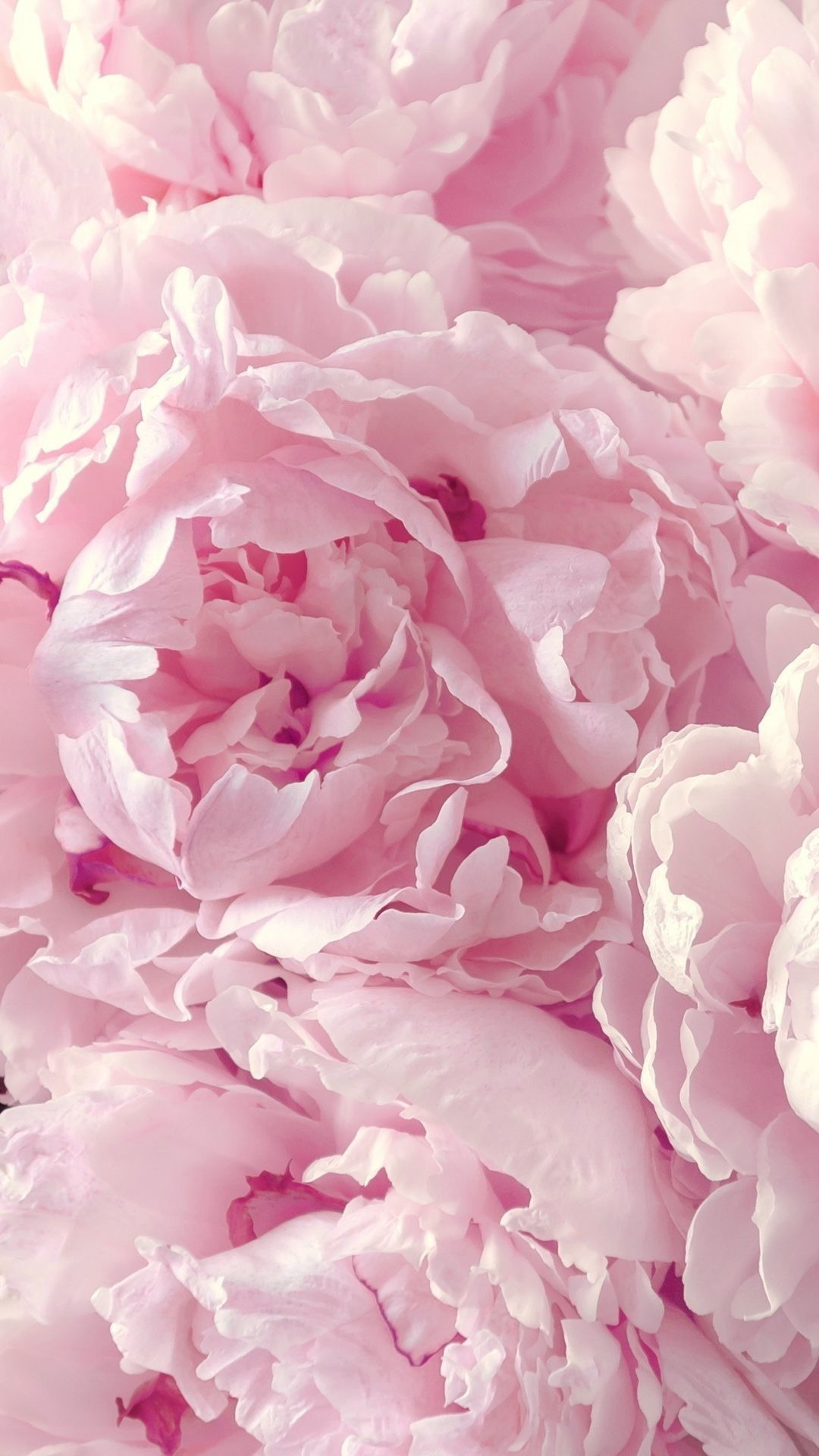 Peony Iphone Wallpapers Top Free Peony Iphone Backgrounds Wallpaperaccess