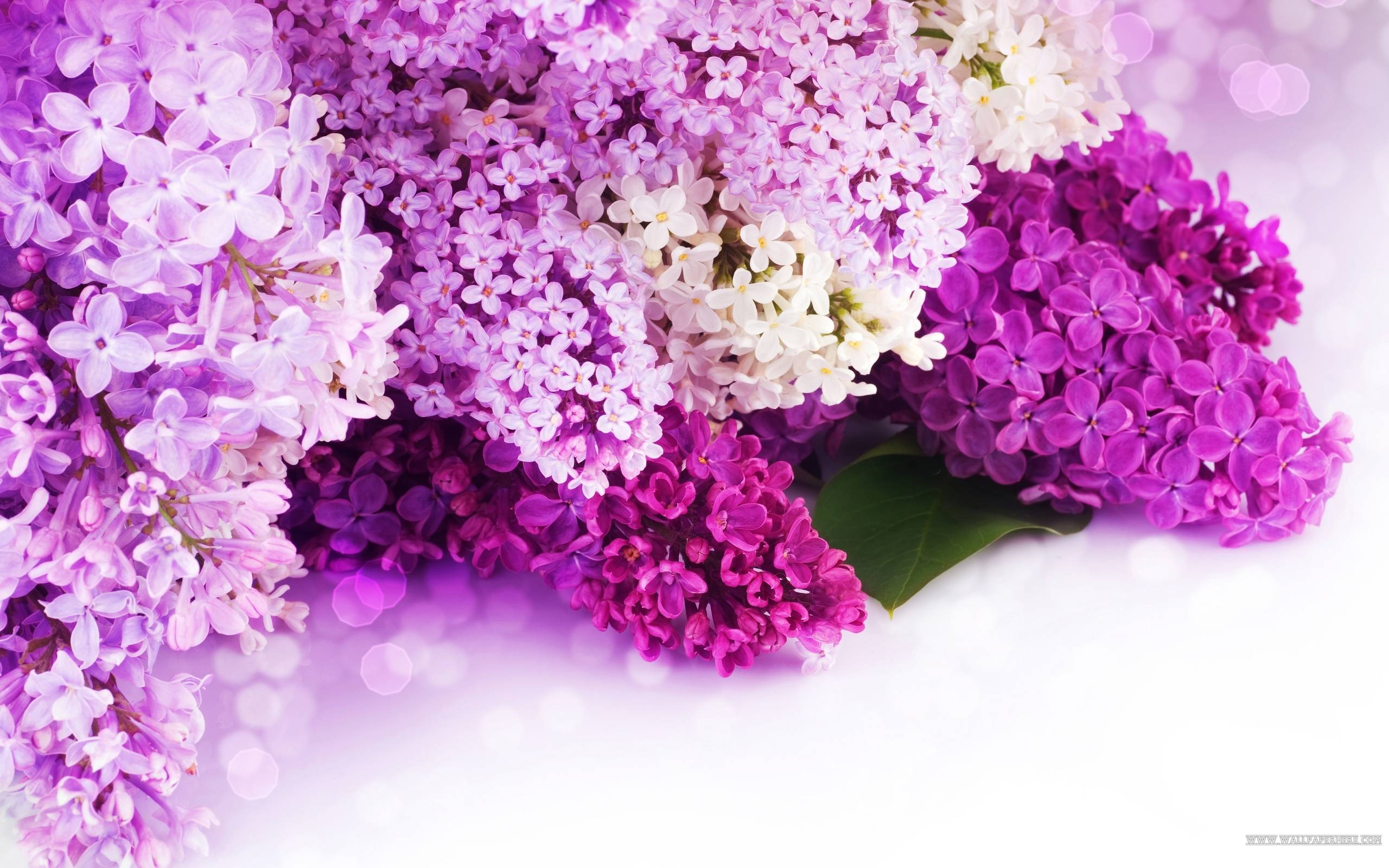 Lilac Wallpapers Top Free Lilac Backgrounds Wallpaperaccess