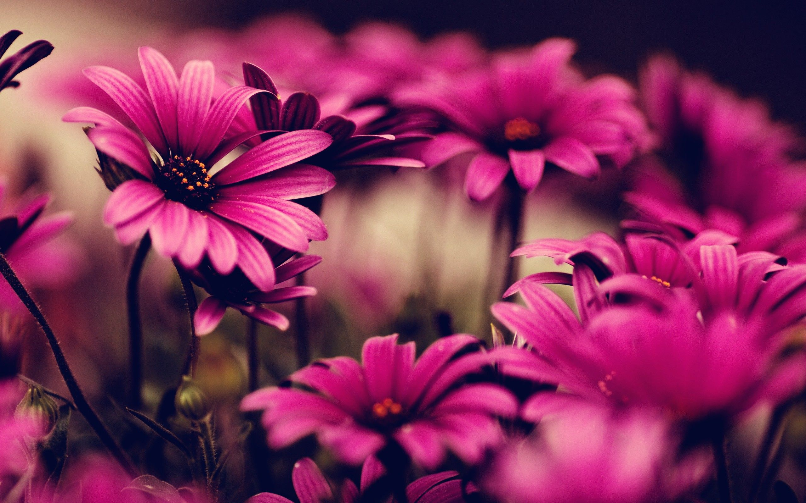 Pink Flowers Hd Wallpapers Top Free Pink Flowers Hd Backgrounds Wallpaperaccess