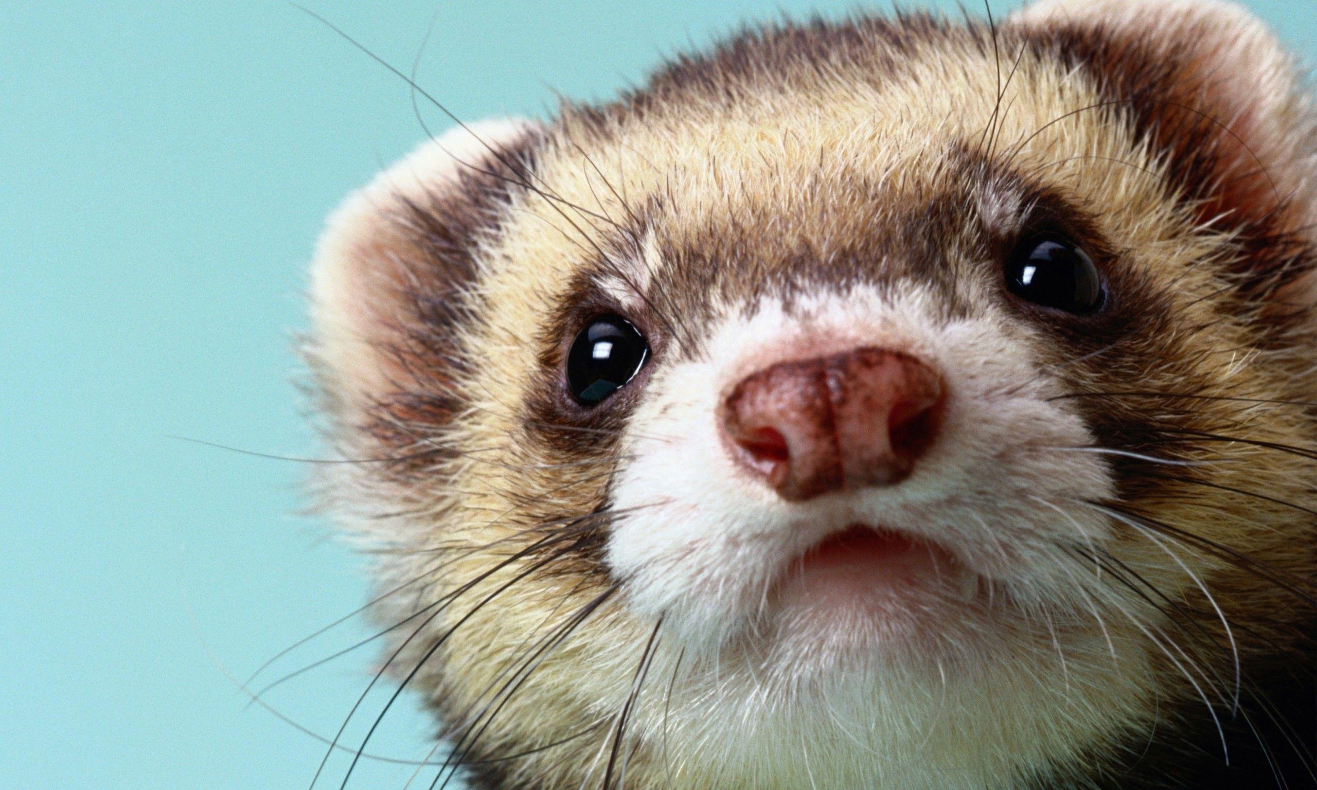 Ferret Wallpapers Top Free Ferret Backgrounds Wallpaperaccess
