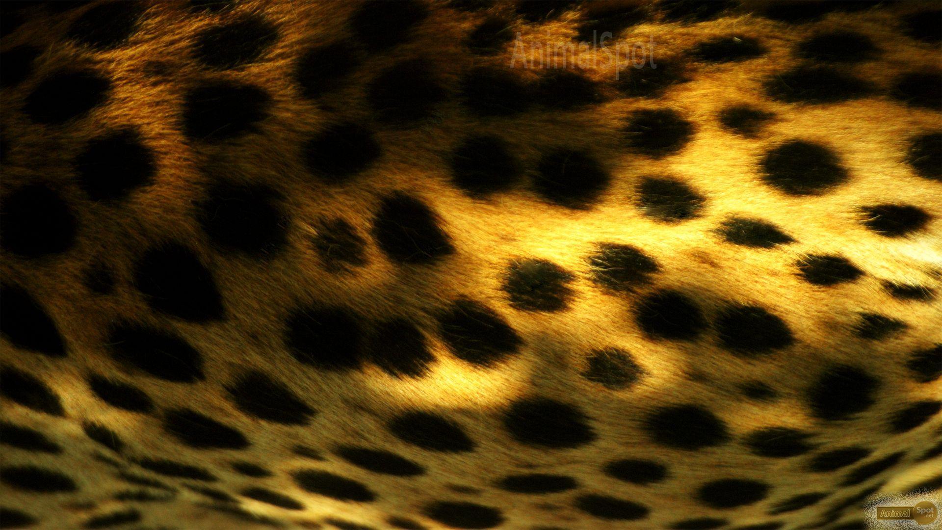 1920x1080 Cheetah hình nền â ????  Đốm động vật
