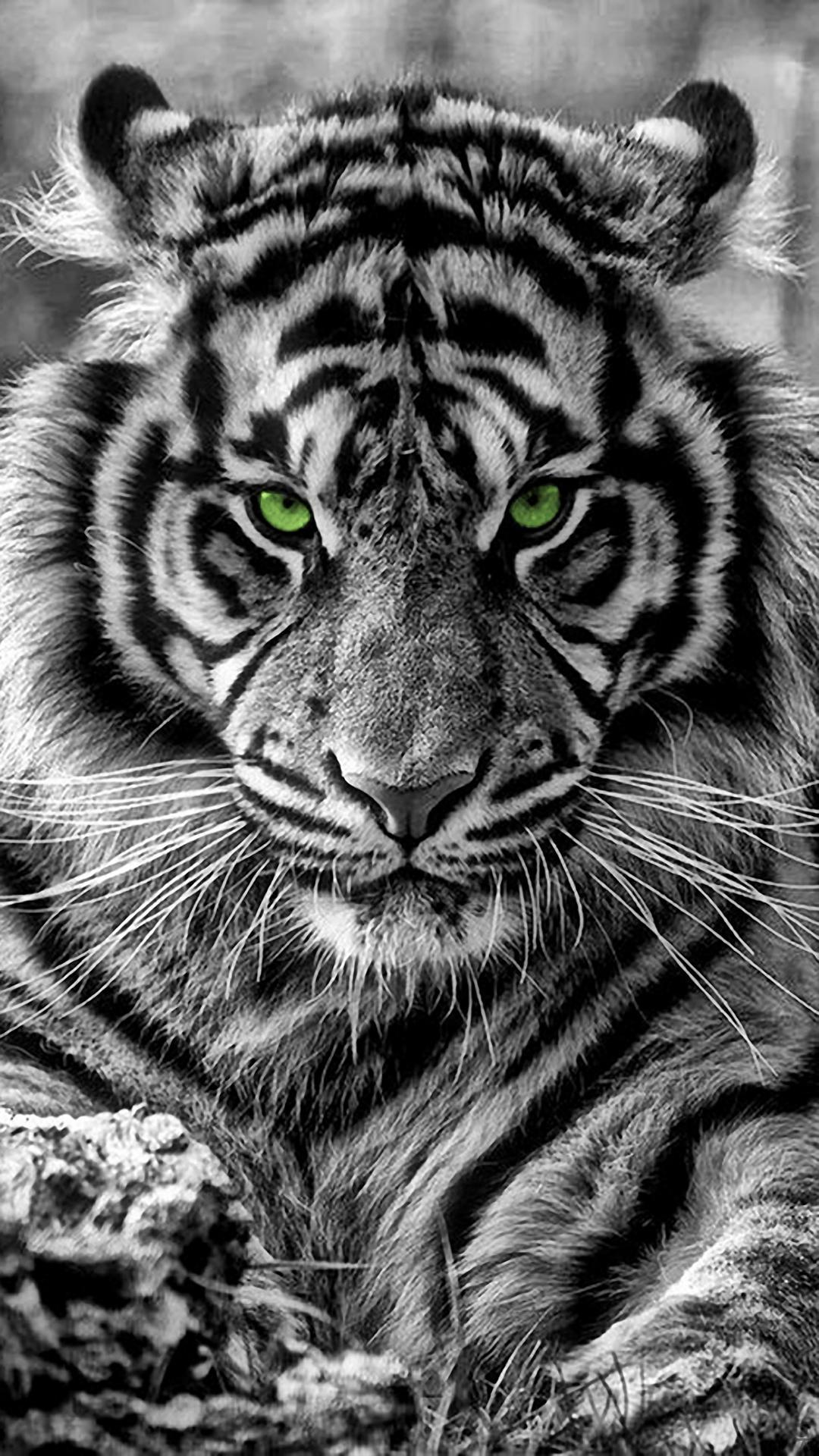 White Tiger Iphone Wallpapers Top Free White Tiger Iphone Backgrounds Wallpaperaccess