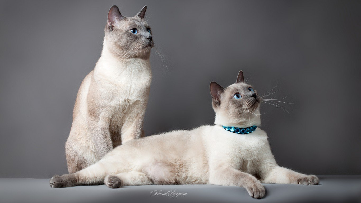 Siamese Cat Wallpapers Top Free Siamese Cat Backgrounds Wallpaperaccess