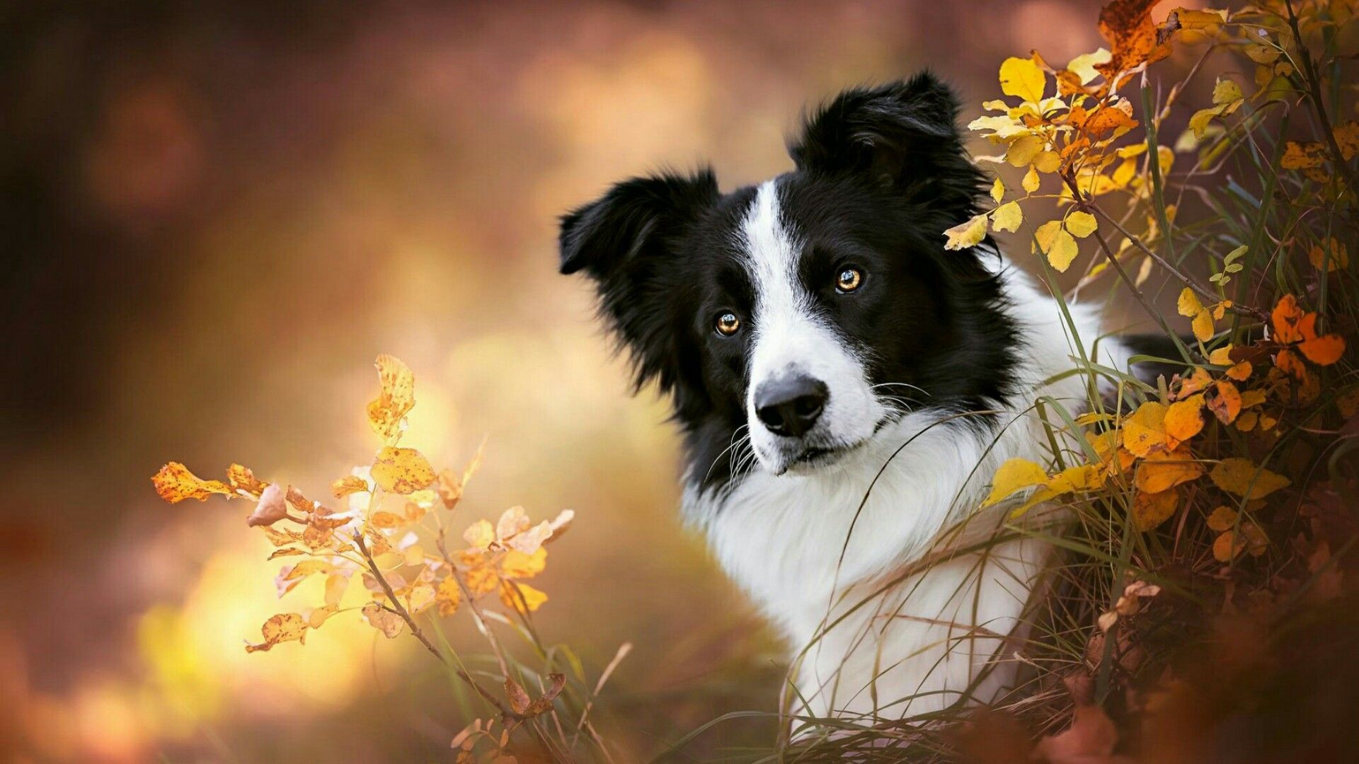 Collie Wallpapers Top Free Collie Backgrounds Wallpaperaccess