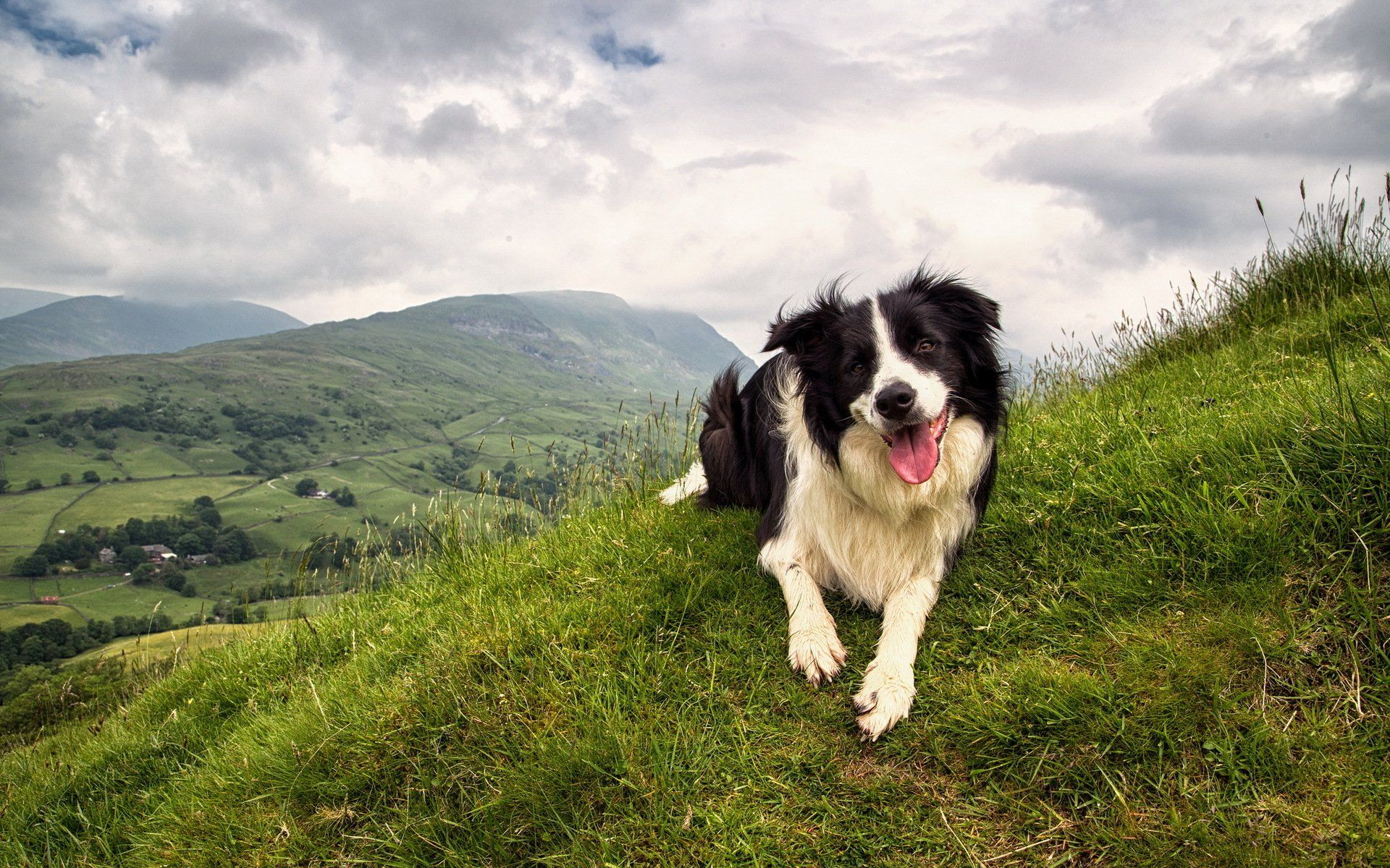 Border Collie Wallpapers Top Free Border Collie Backgrounds Wallpaperaccess