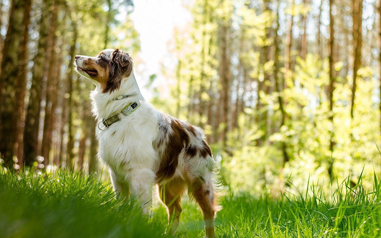 Australian Shepherd Wallpapers Top Free Australian Shepherd Backgrounds Wallpaperaccess