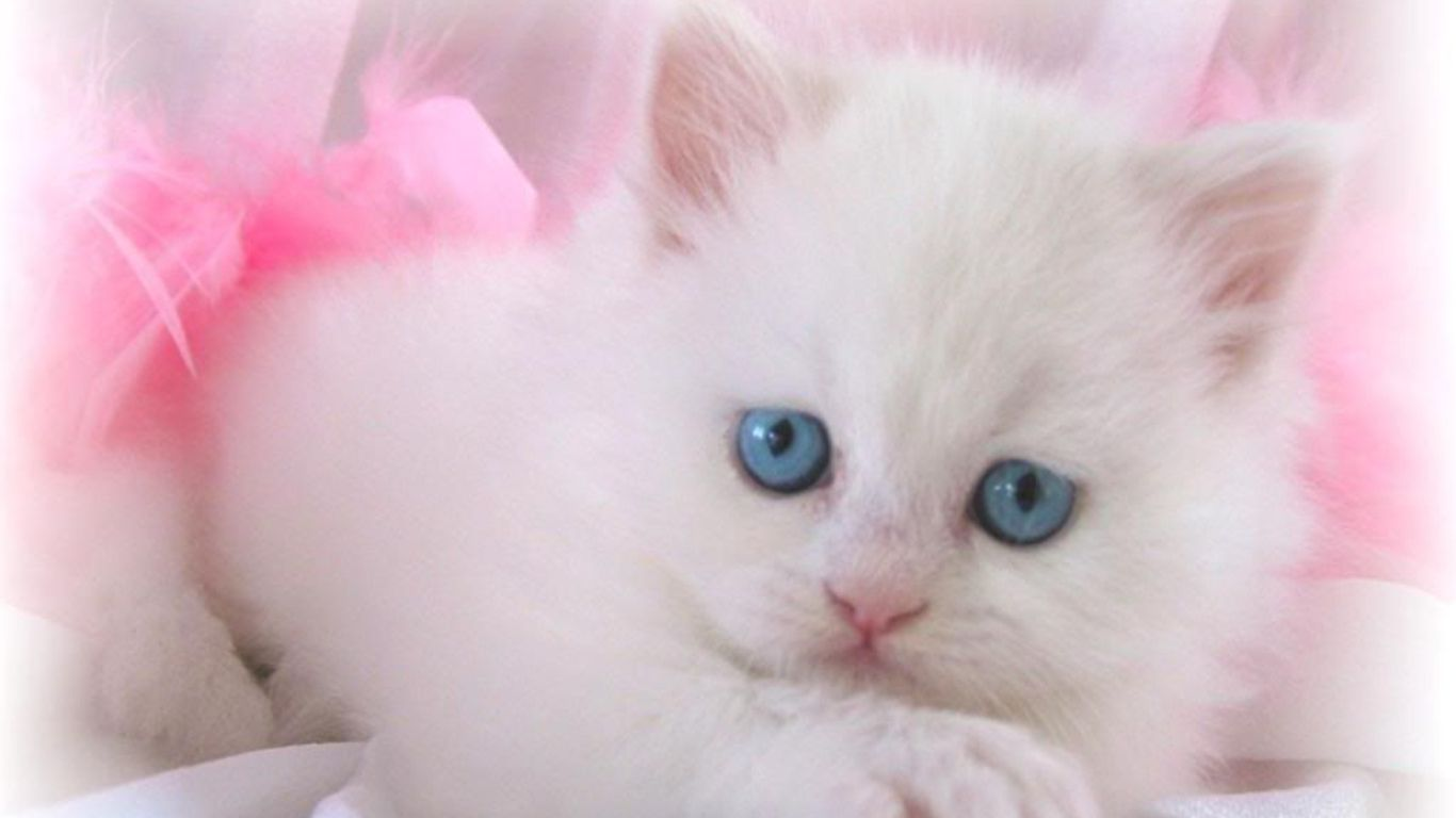 White Kittens Wallpapers Top Free White Kittens Backgrounds Wallpaperaccess