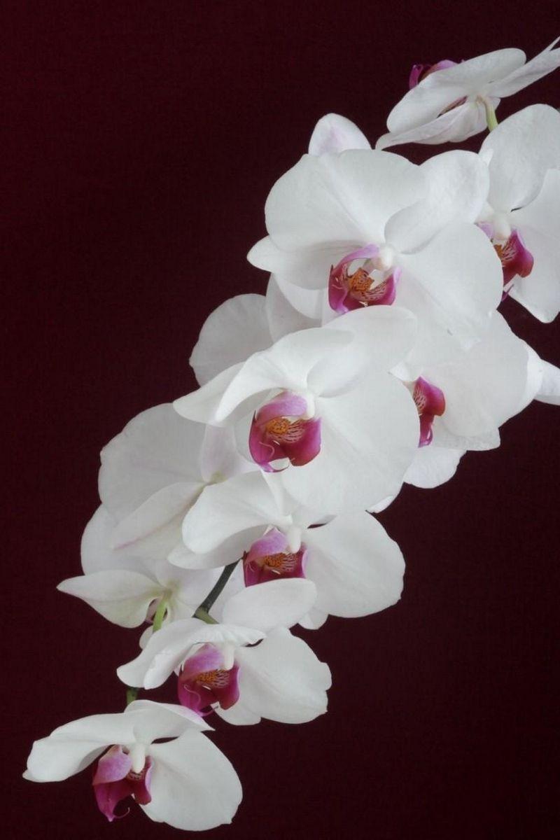 находится фото белой орхидеи на черном шелке русская зима обходится