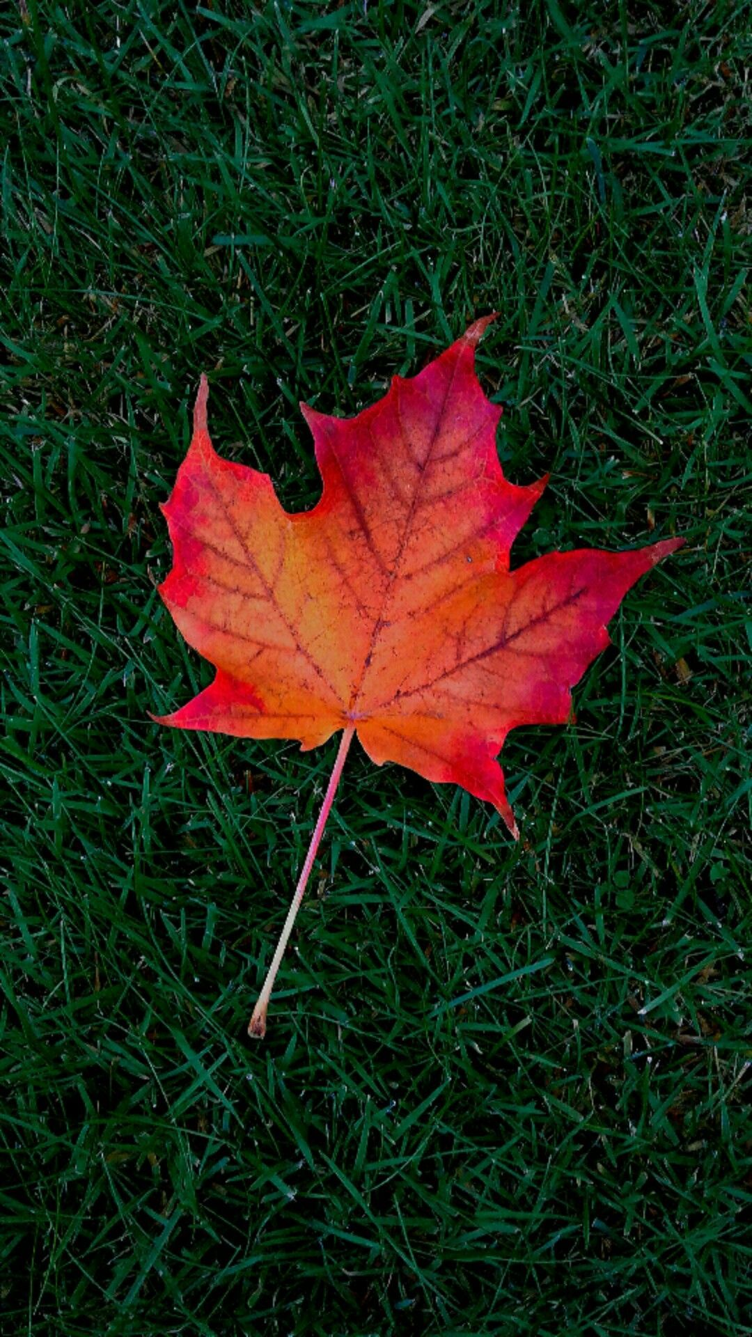 Maple Leaf Wallpapers Top Free Maple Leaf Backgrounds Wallpaperaccess