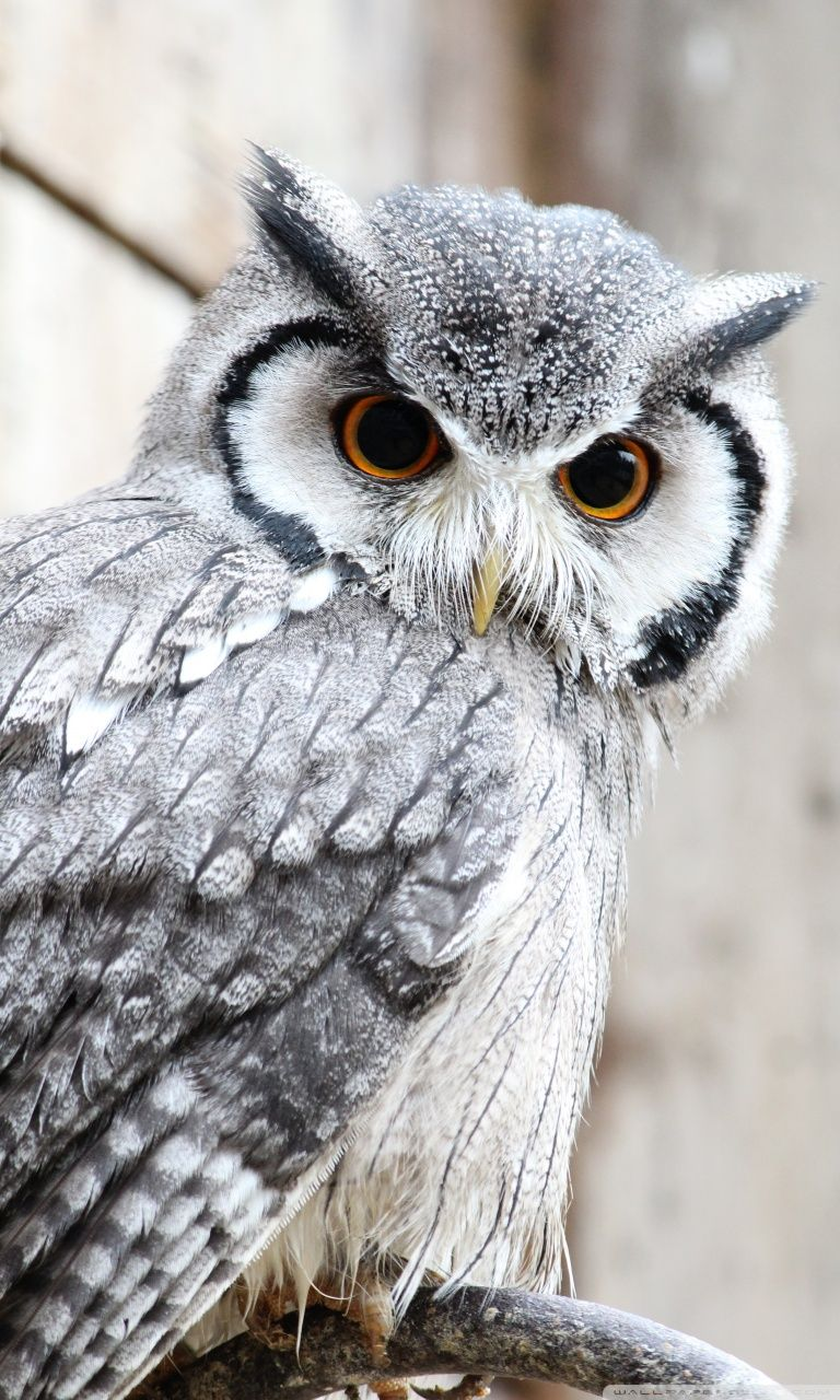Owl Iphone Wallpapers Top Free Owl Iphone Backgrounds Wallpaperaccess