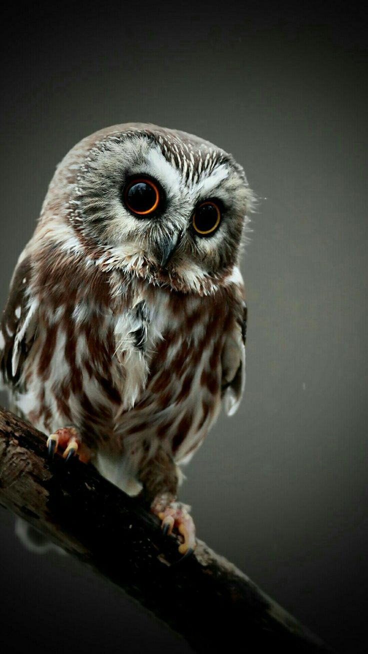 Owl iPhone Wallpapers - Top Free Owl iPhone Backgrounds