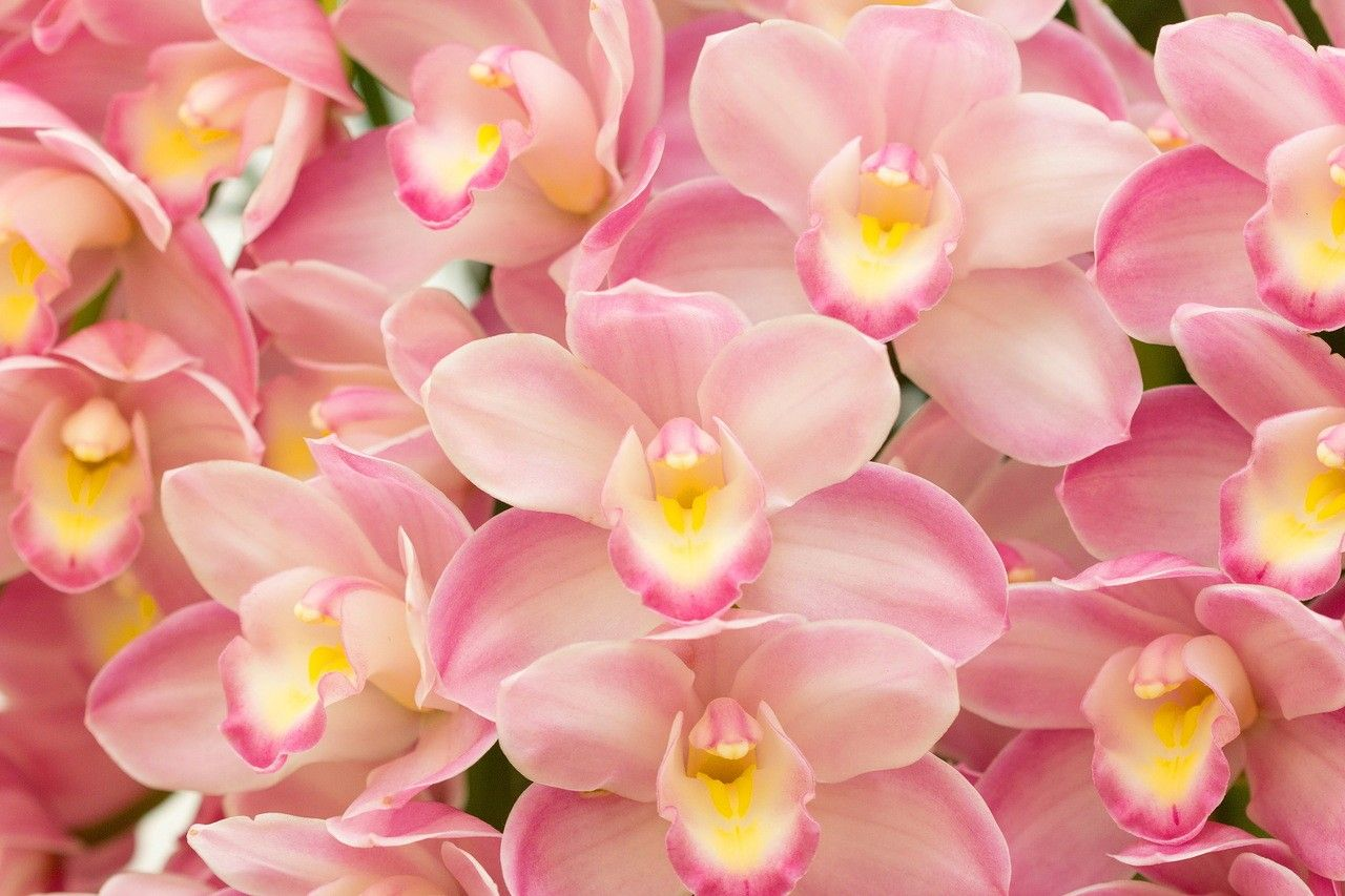 Orchid Wallpapers Top Free Orchid Backgrounds