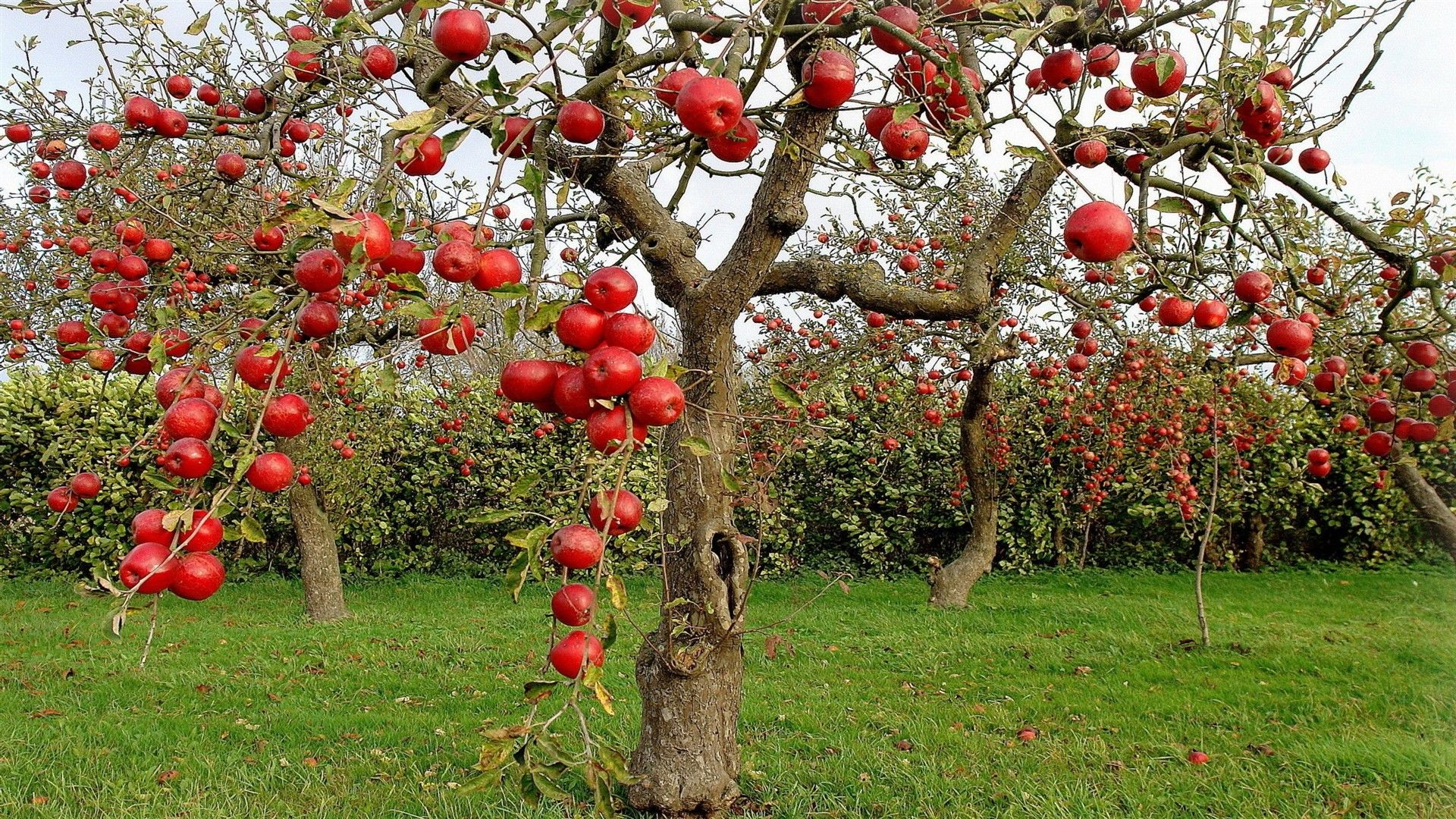 Apple Tree Wallpapers Top Free Apple Tree Backgrounds Wallpaperaccess