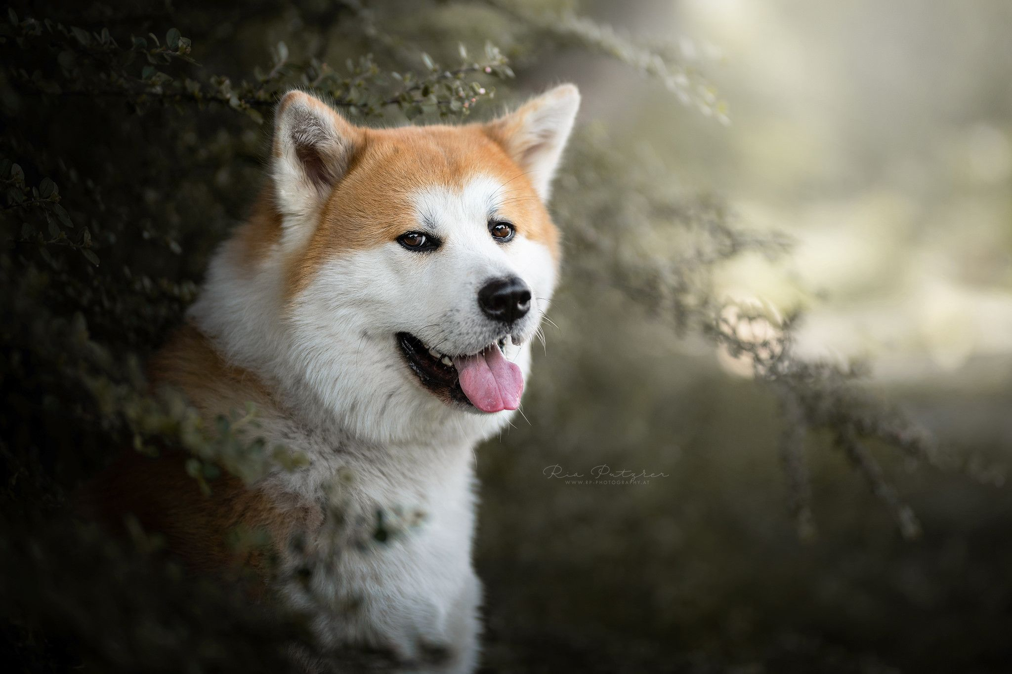 Akita Inu Wallpapers Top Free Akita Inu Backgrounds Wallpaperaccess