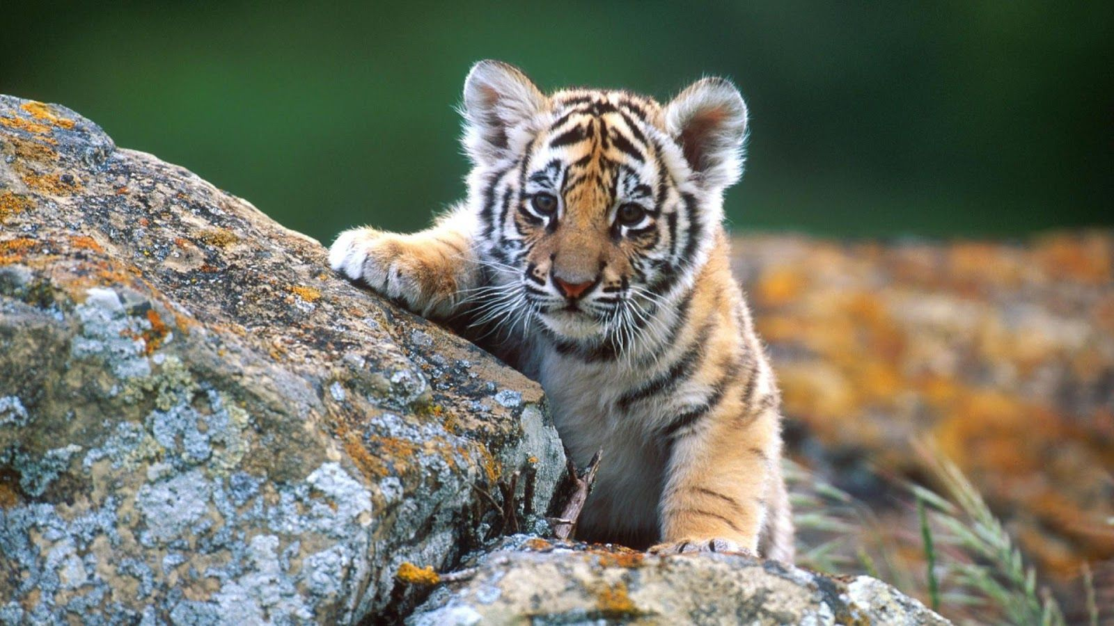 Baby Animal Wallpapers Top Free Baby Animal Backgrounds Wallpaperaccess
