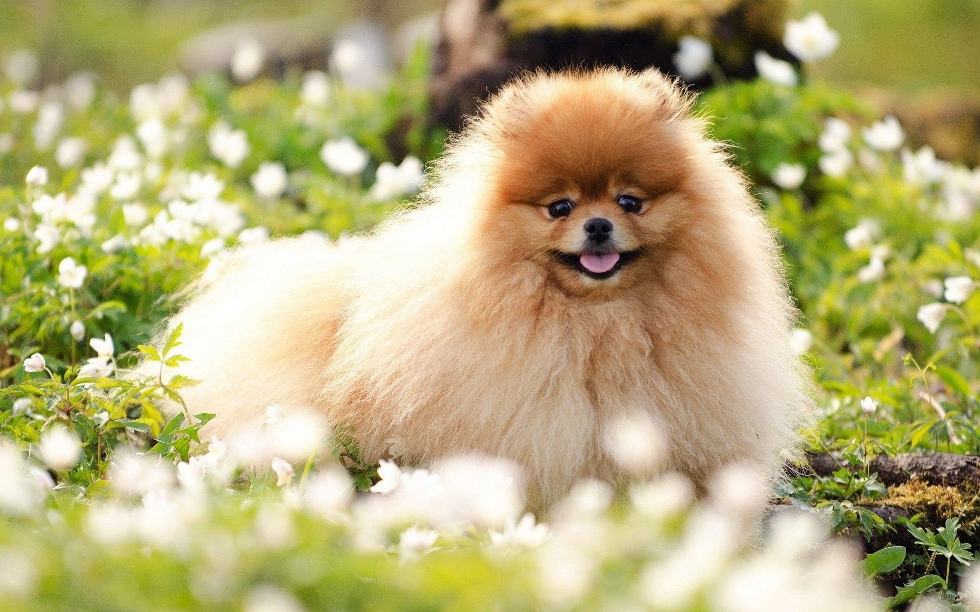 Pomeranian Wallpapers Top Free Pomeranian Backgrounds Wallpaperaccess