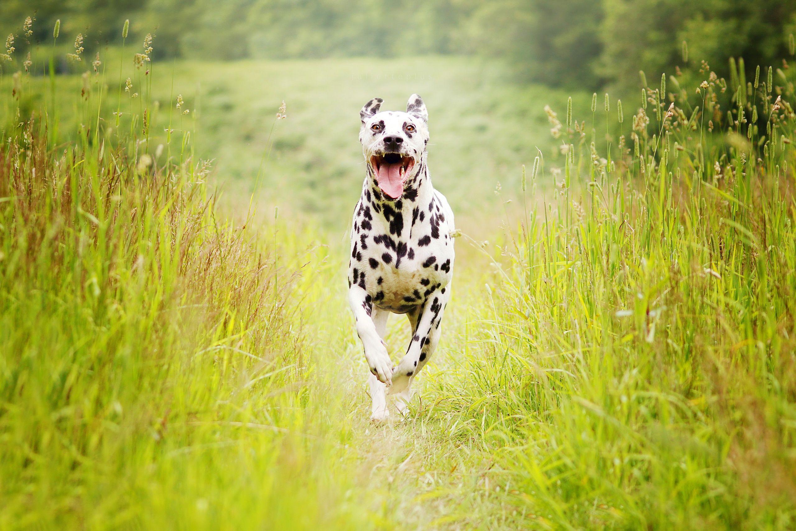 Dalmatian Wallpapers - Top Free Dalmatian Backgrounds ...