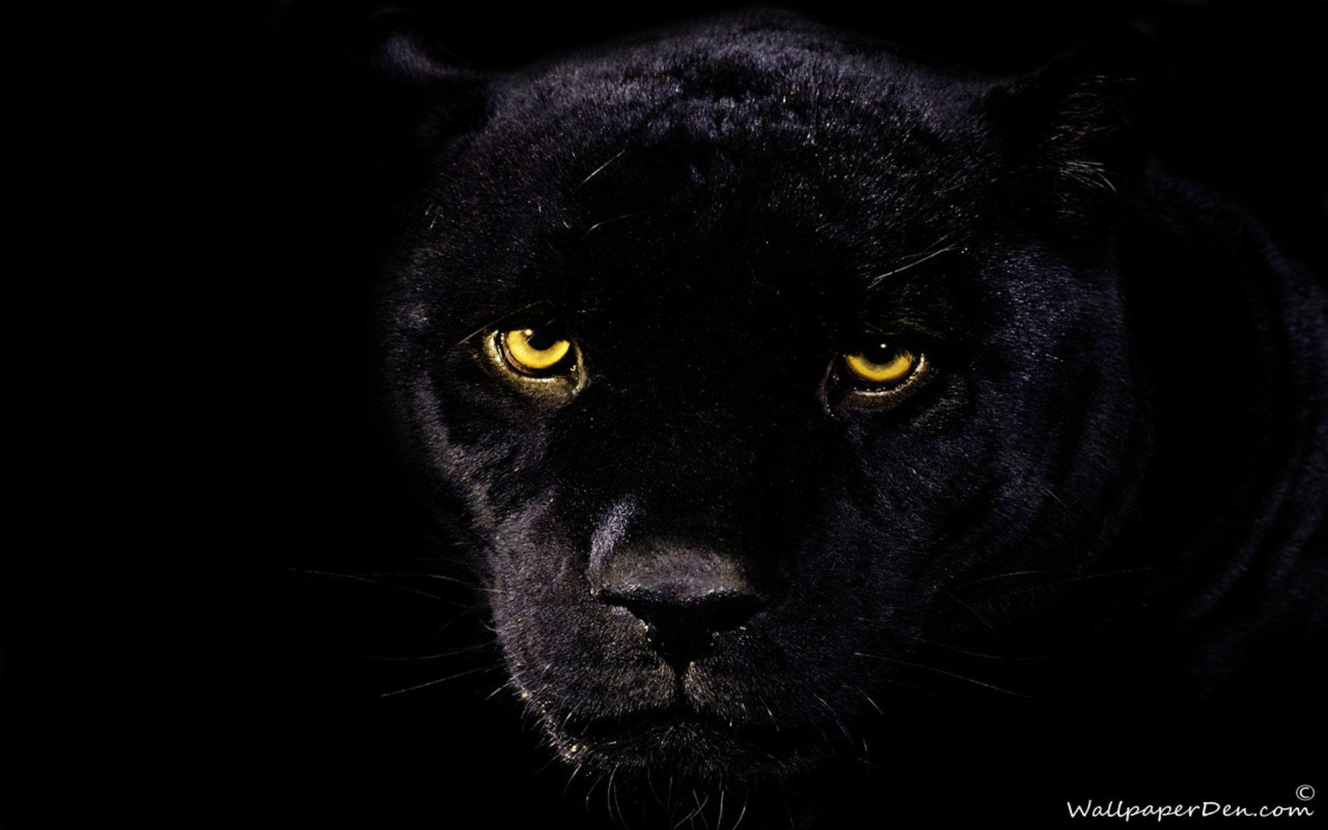 Black Panther Animal Wallpapers Top Free Black Panther Animal Backgrounds Wallpaperaccess