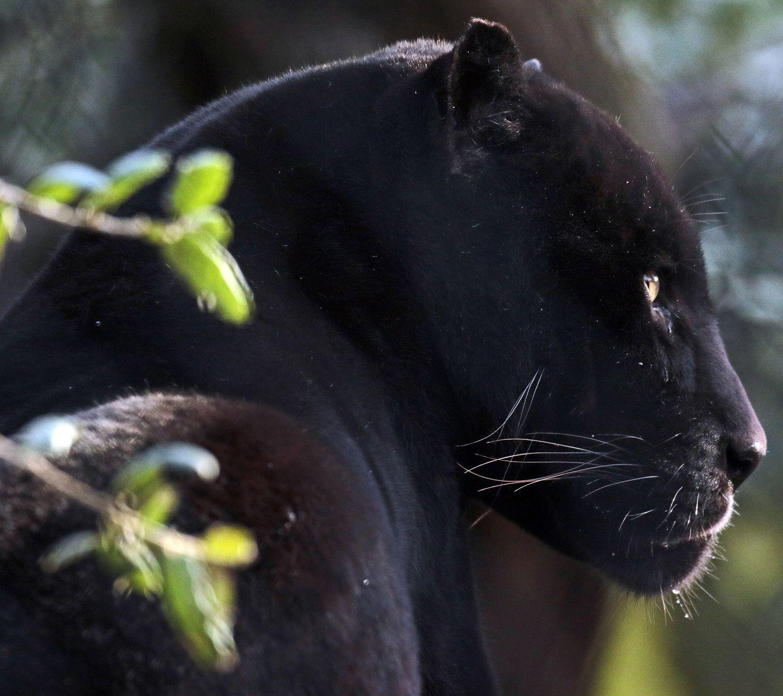 Black panther animal wallpapers top free black panther - Animal black background wallpaper ...