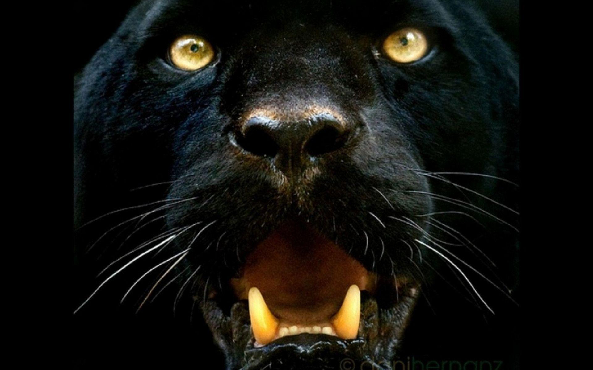 Black Panther Animal Wallpapers - Top Free Black Panther ...