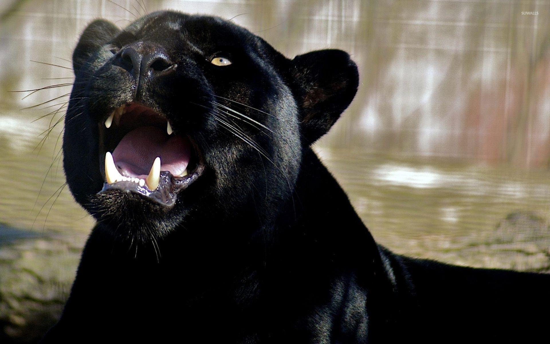 46 Best Free Black Panther Animal Wallpapers Wallpaperaccess