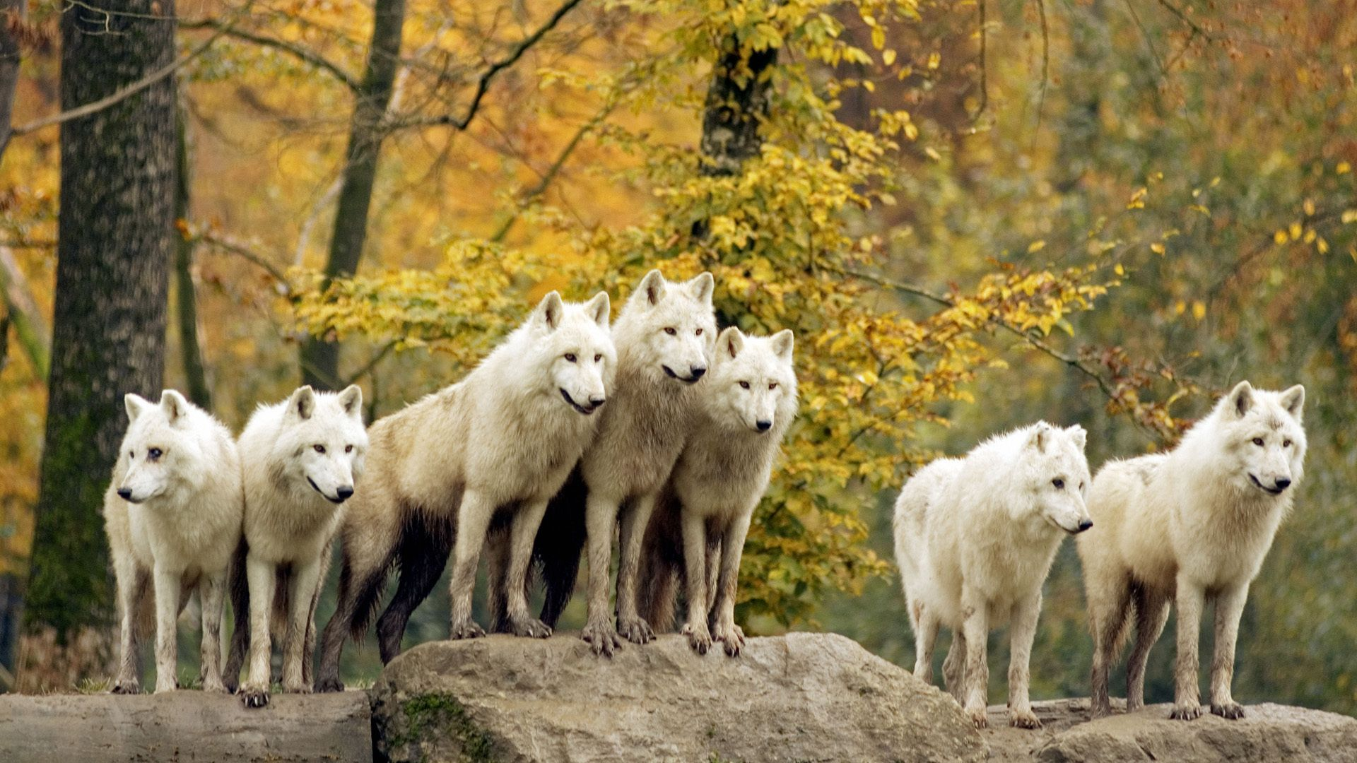 Wolf Pack Wallpapers Top Free Wolf Pack Backgrounds Wallpaperaccess