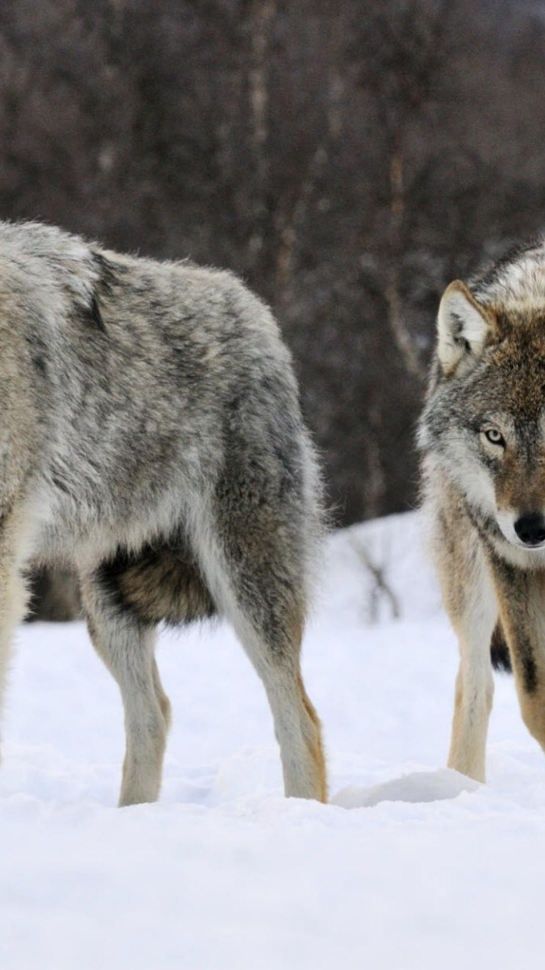 Wolf Pack Wallpapers - Top Free Wolf Pack Backgrounds ... - photo#8