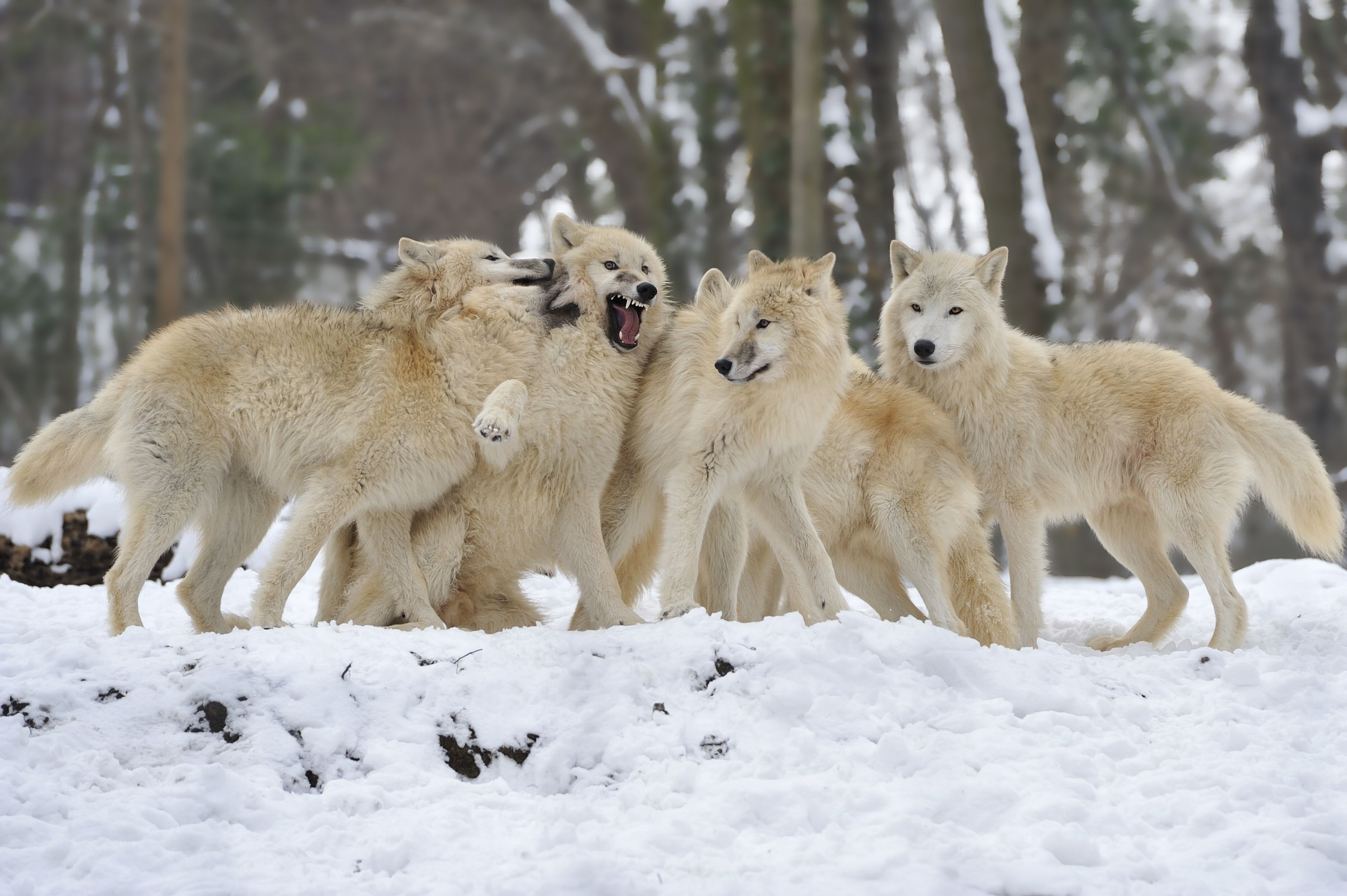 Wolf Pack Wallpapers - Top Free Wolf Pack Backgrounds ... - photo#25