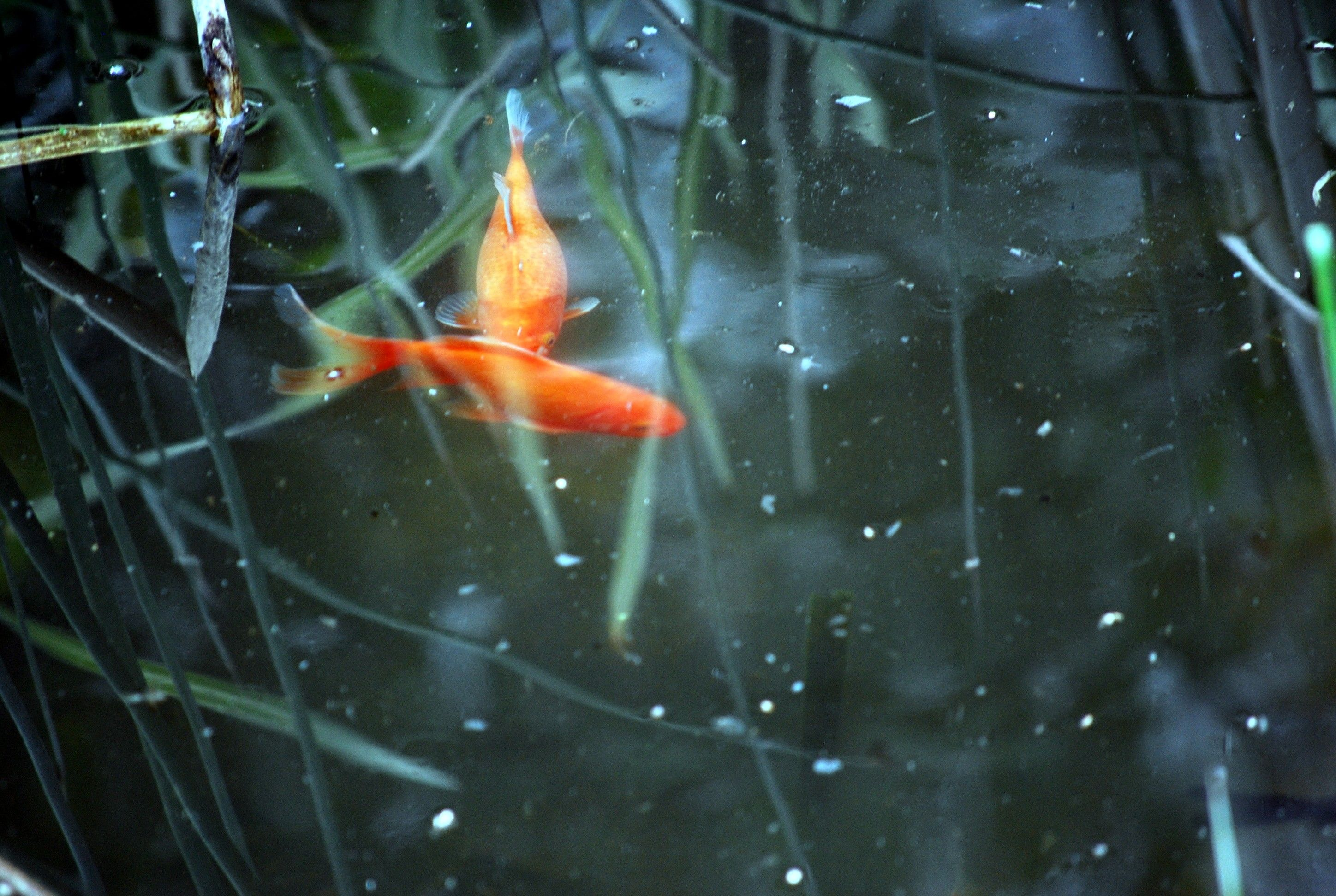 35 best free gold koi wallpapers wallpaperaccess