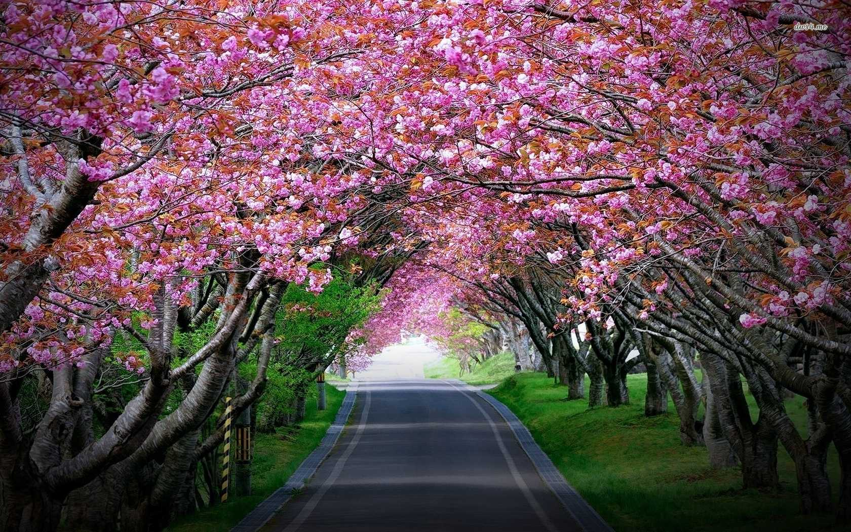 1680x1050 Jolly Pink Cherry Blossoms Tree Tunnel Wallpaper Nature As Wells