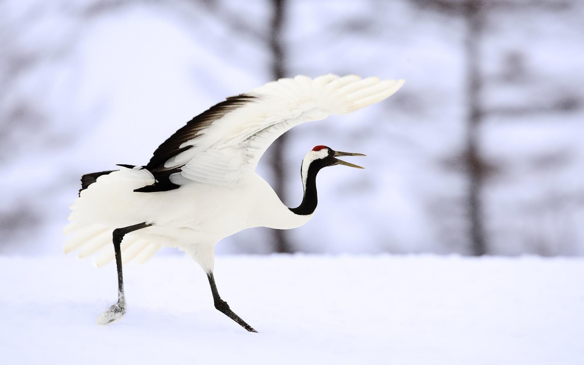 Japanese Crane Birds Wallpapers Top Free Japanese Crane Birds Backgrounds Wallpaperaccess