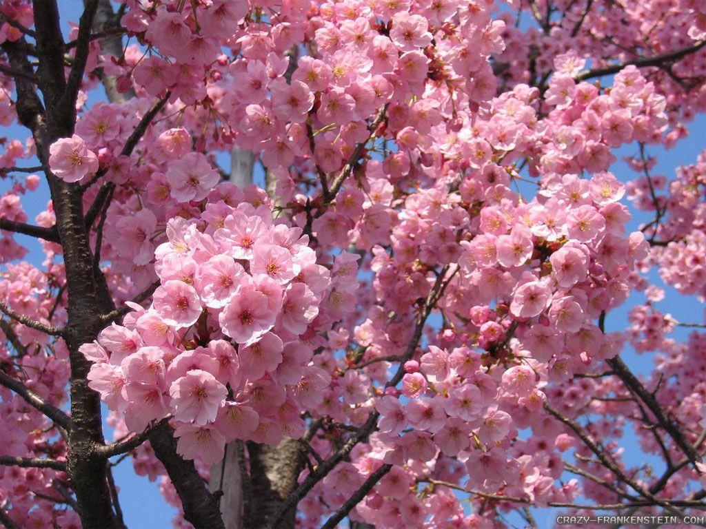Japanese Flower Wallpapers , Top Free Japanese Flower