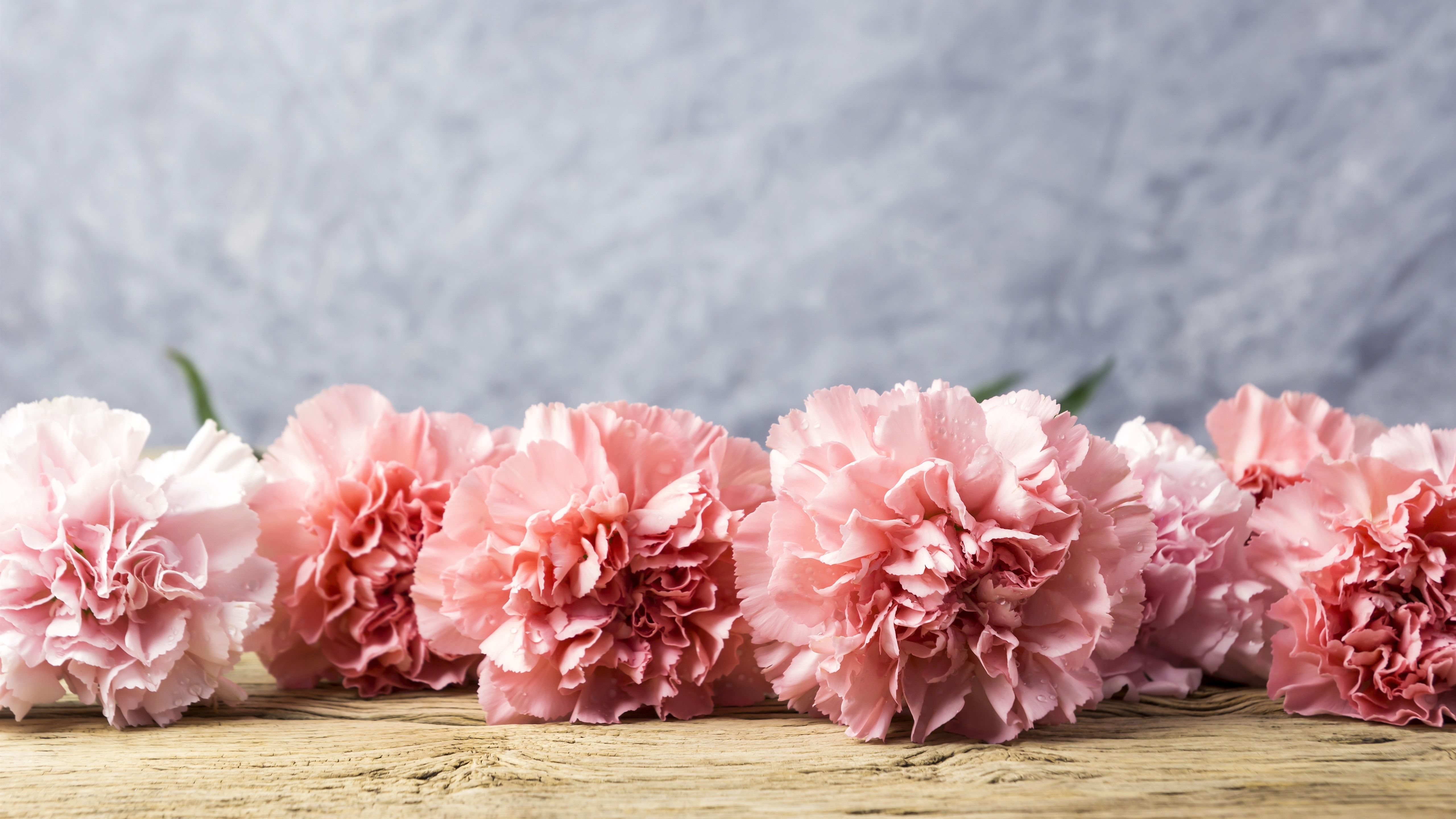 Carnation Wallpapers Top Free Carnation Backgrounds Wallpaperaccess