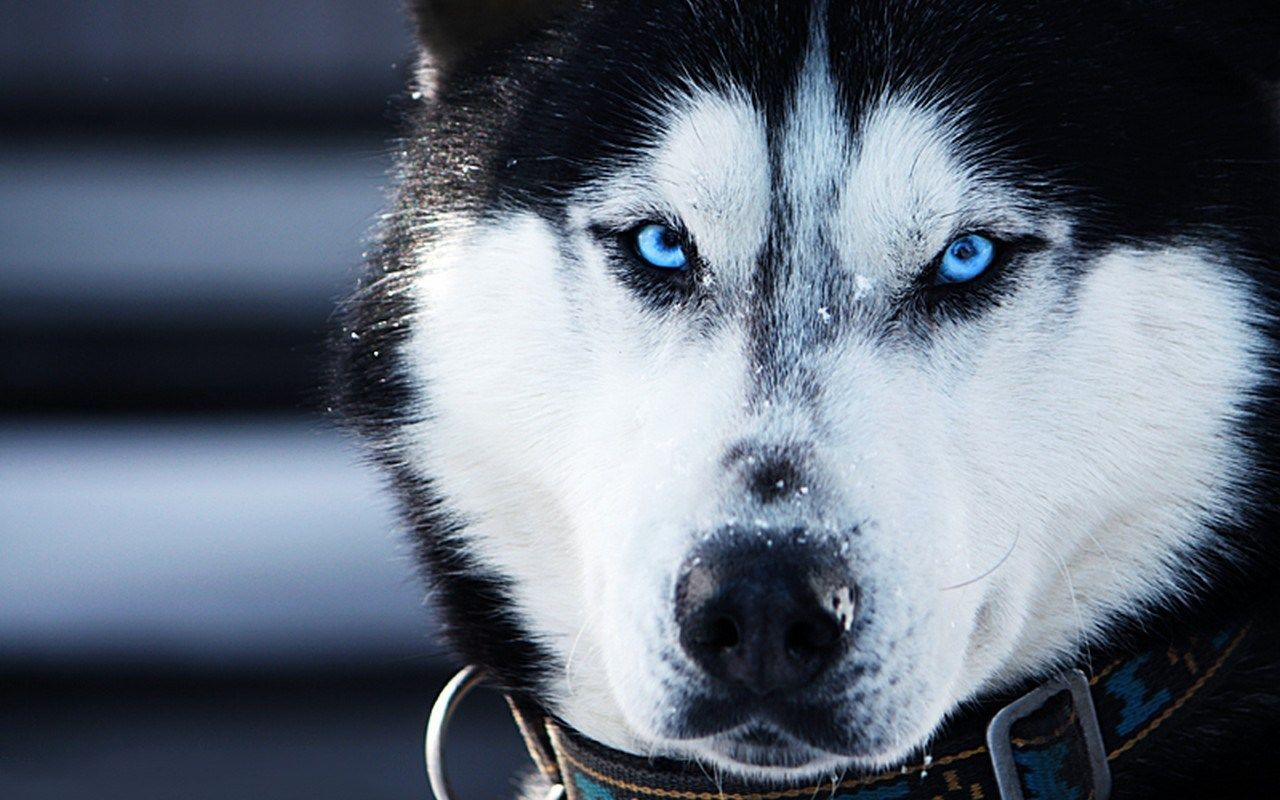 Husky Wallpapers Top Free Husky Backgrounds Wallpaperaccess