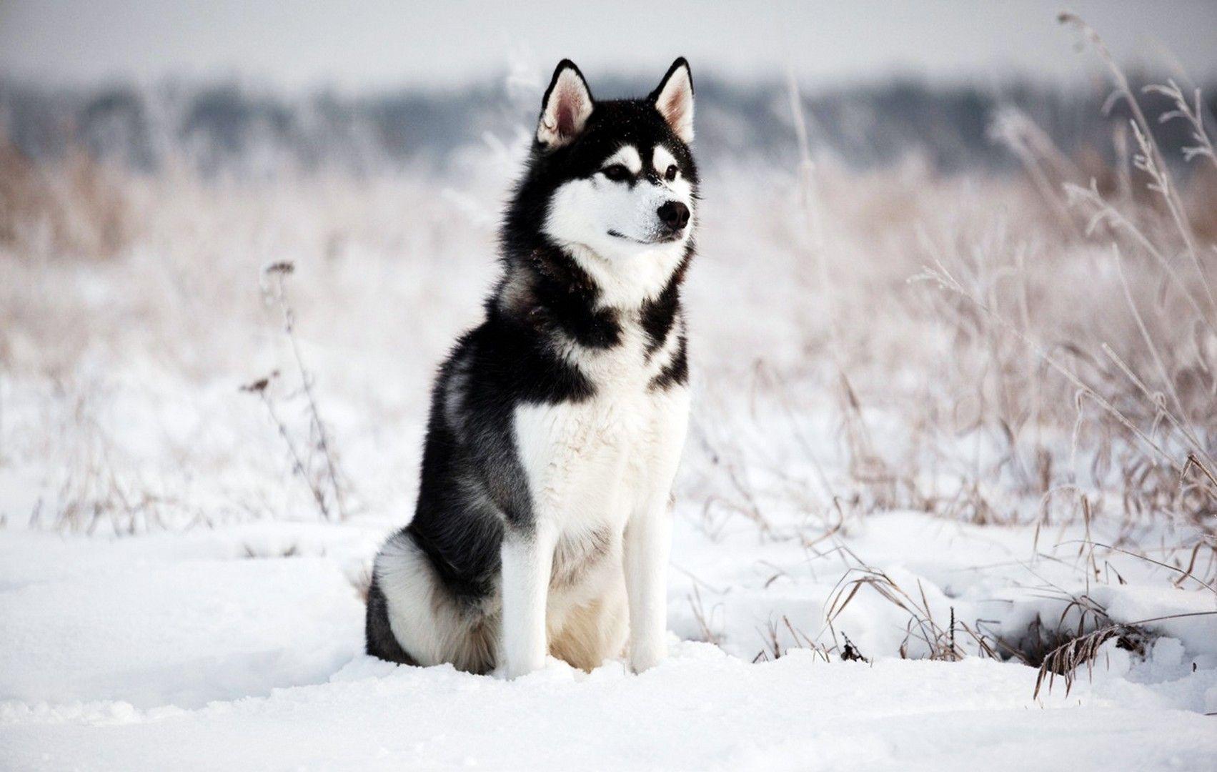 white siberian husky wallpaper