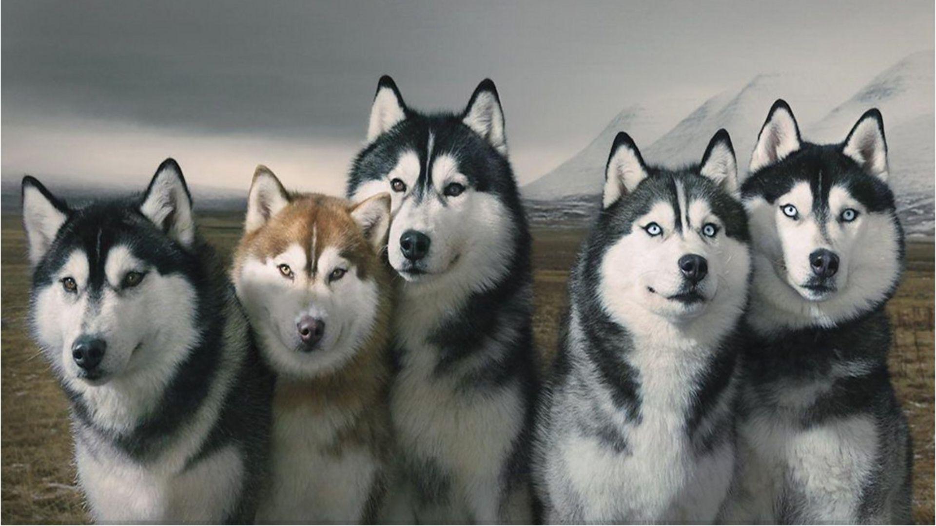 Husky Desktop Wallpapers - Top Free