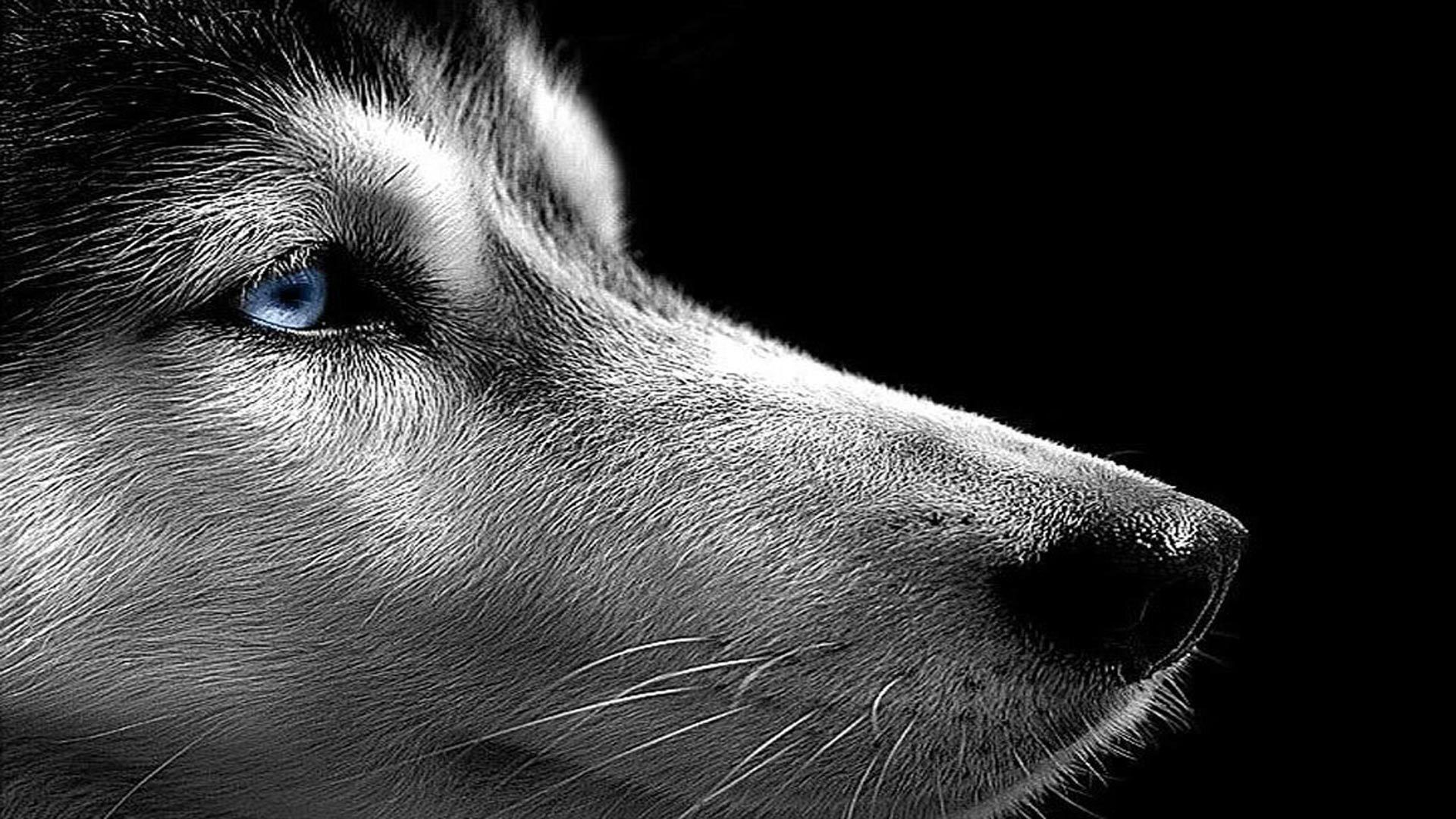 64 Best Free Husky Desktop Wallpapers Wallpaperaccess