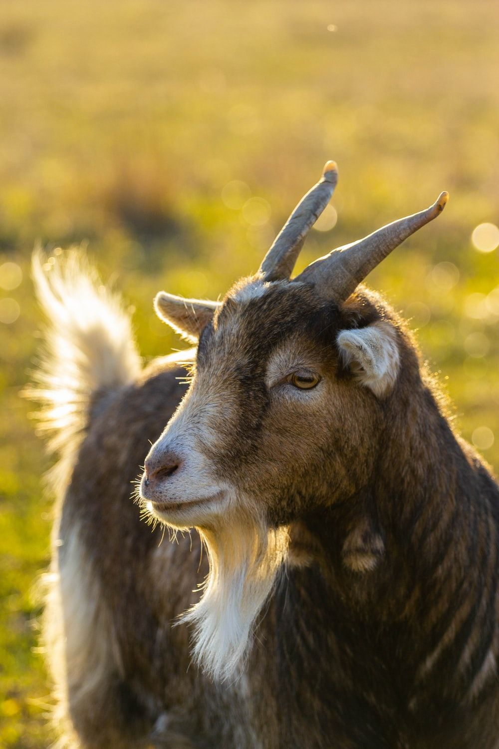 Goat Wallpapers Top Free Goat Backgrounds Wallpaperaccess