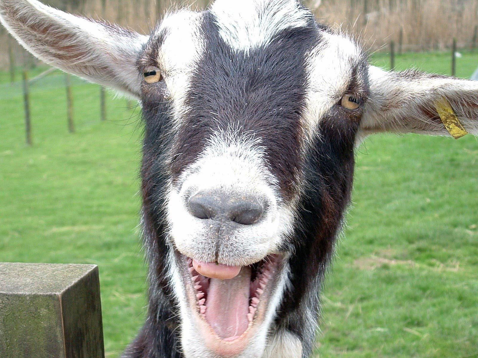 Funny Goat Wallpapers Top Free Funny Goat Backgrounds Wallpaperaccess
